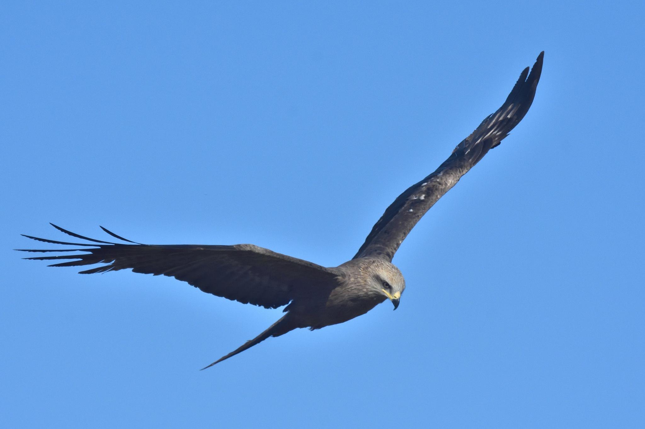 bird of prey by miwwim