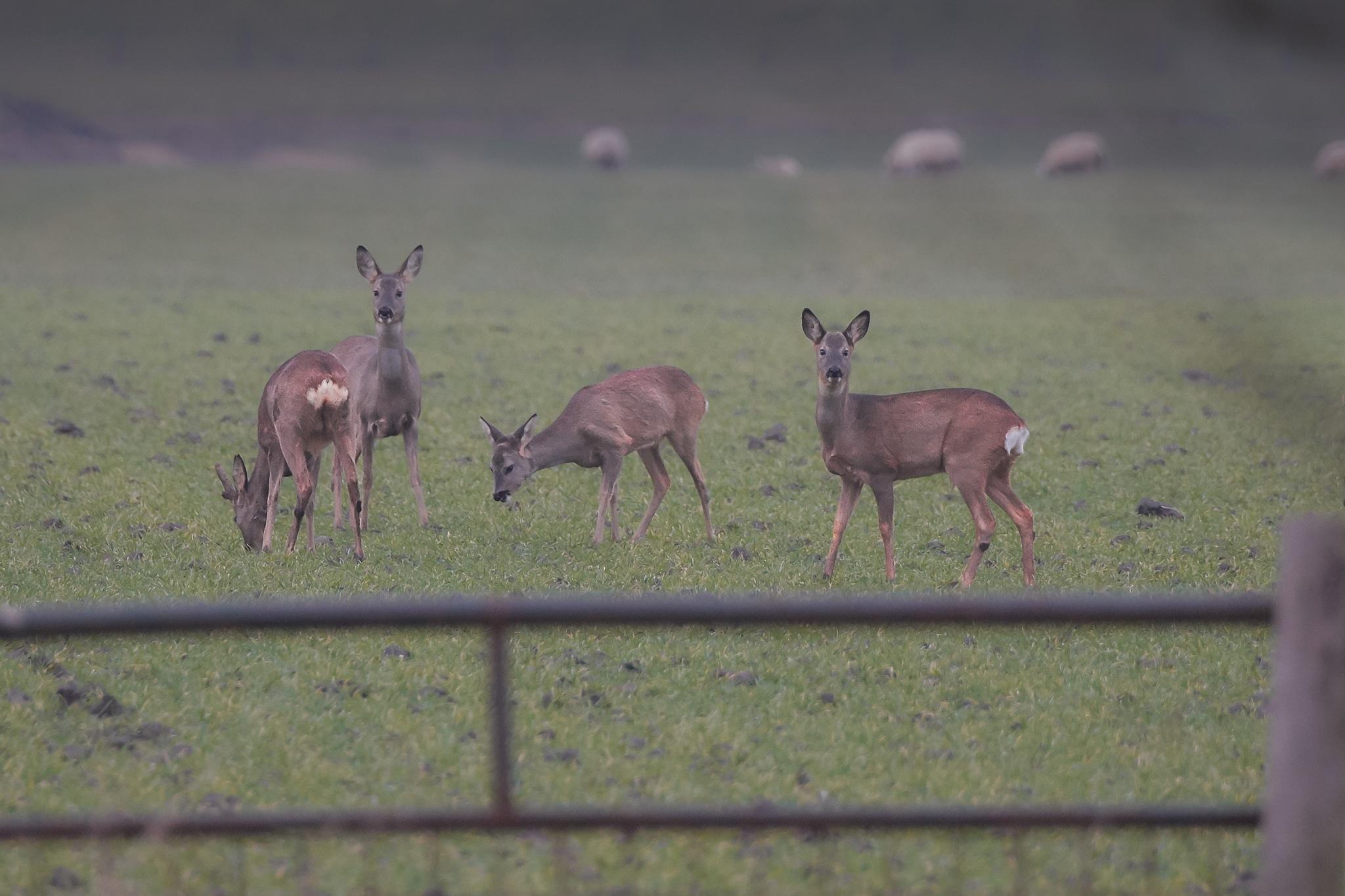 deer by miwwim