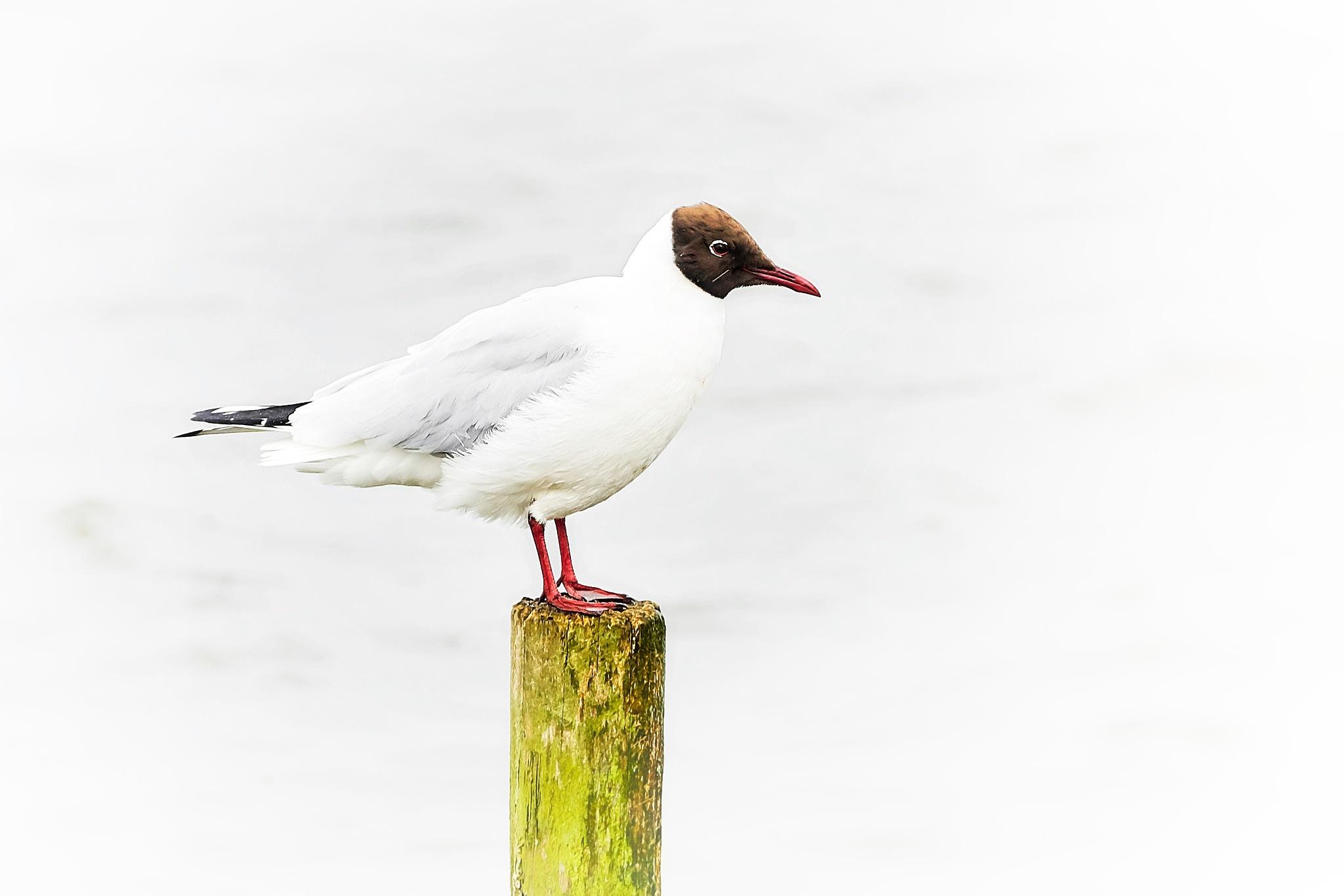 black-headed gull by miwwim