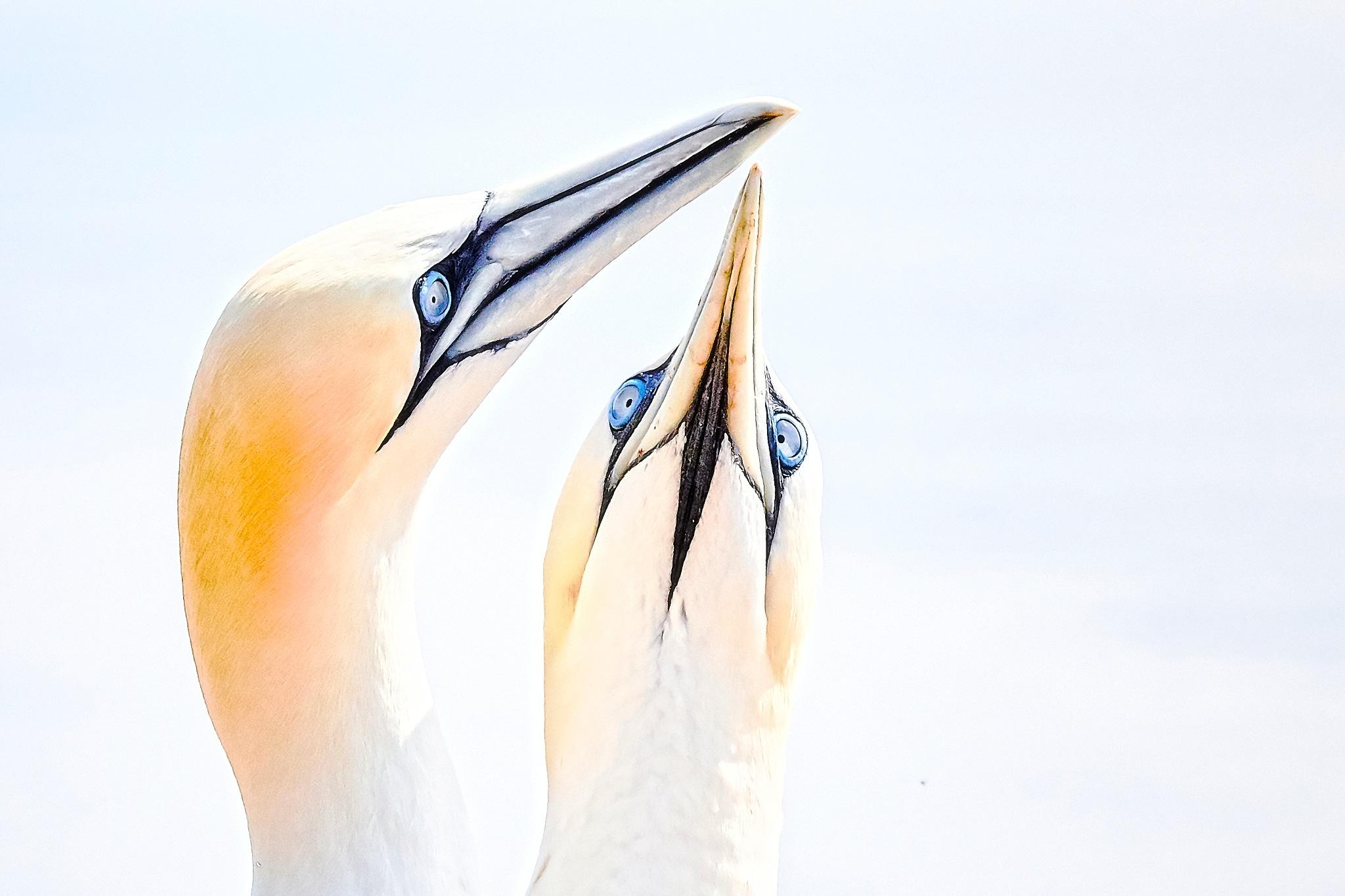 gannets by miwwim