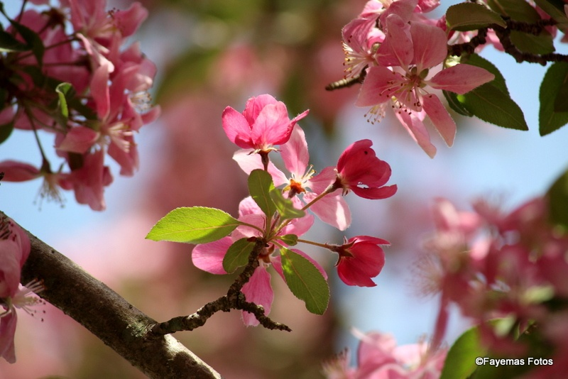 Crabapple blossoms by faye.m.martin
