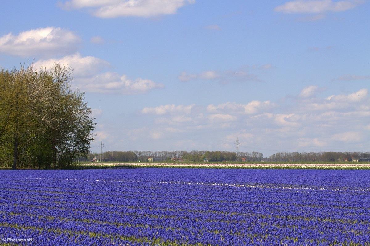 Purple fileds by PhotomanNL