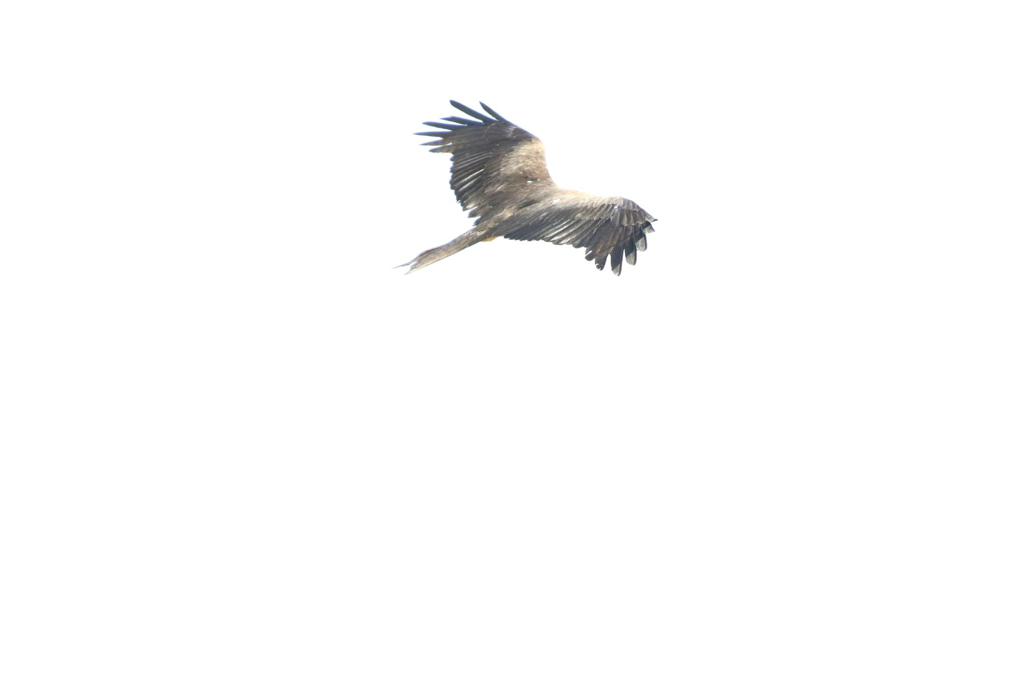Eagle by Pranav Desai
