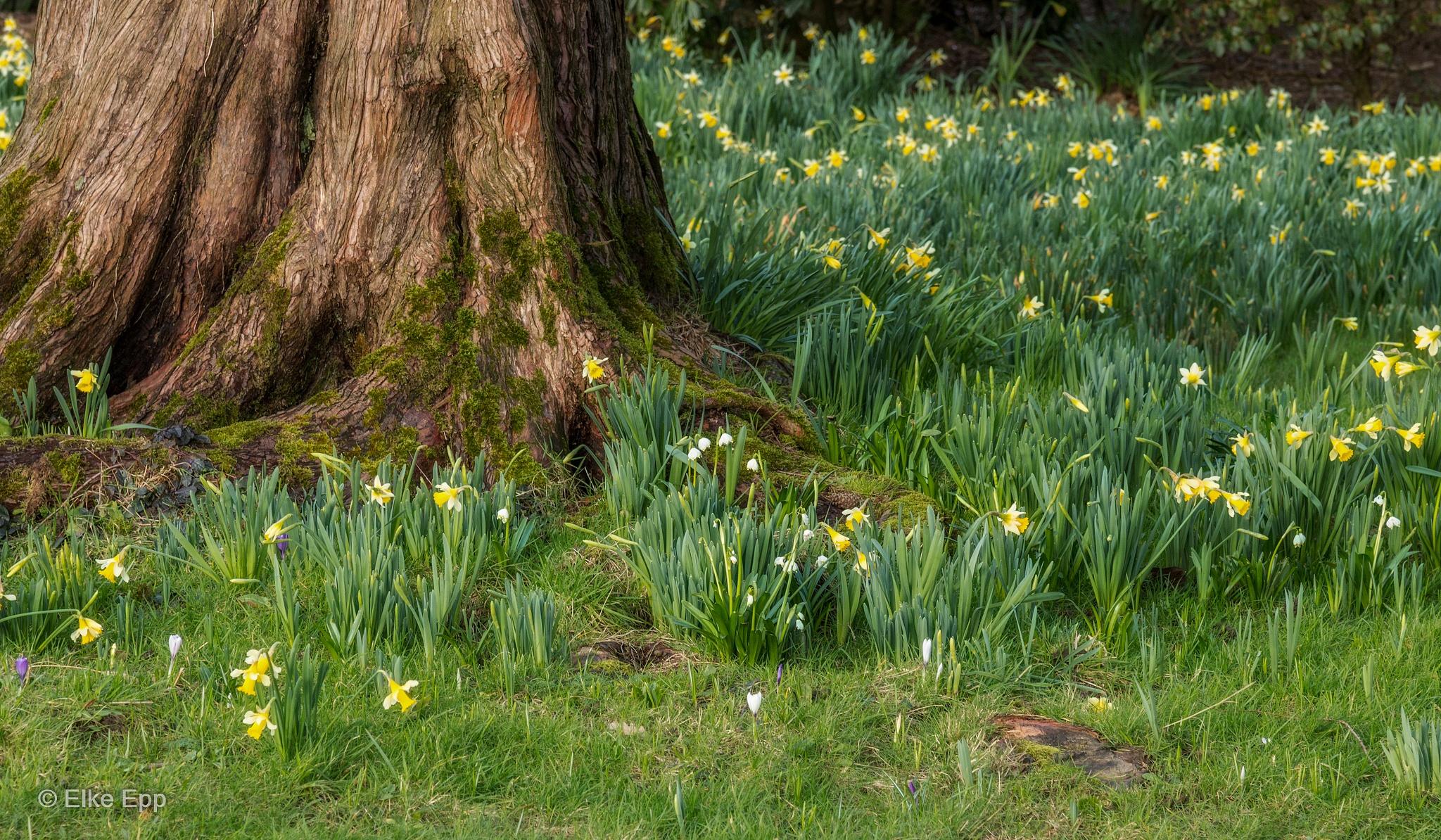 Daffodils at Nymans Garden by elkeepp