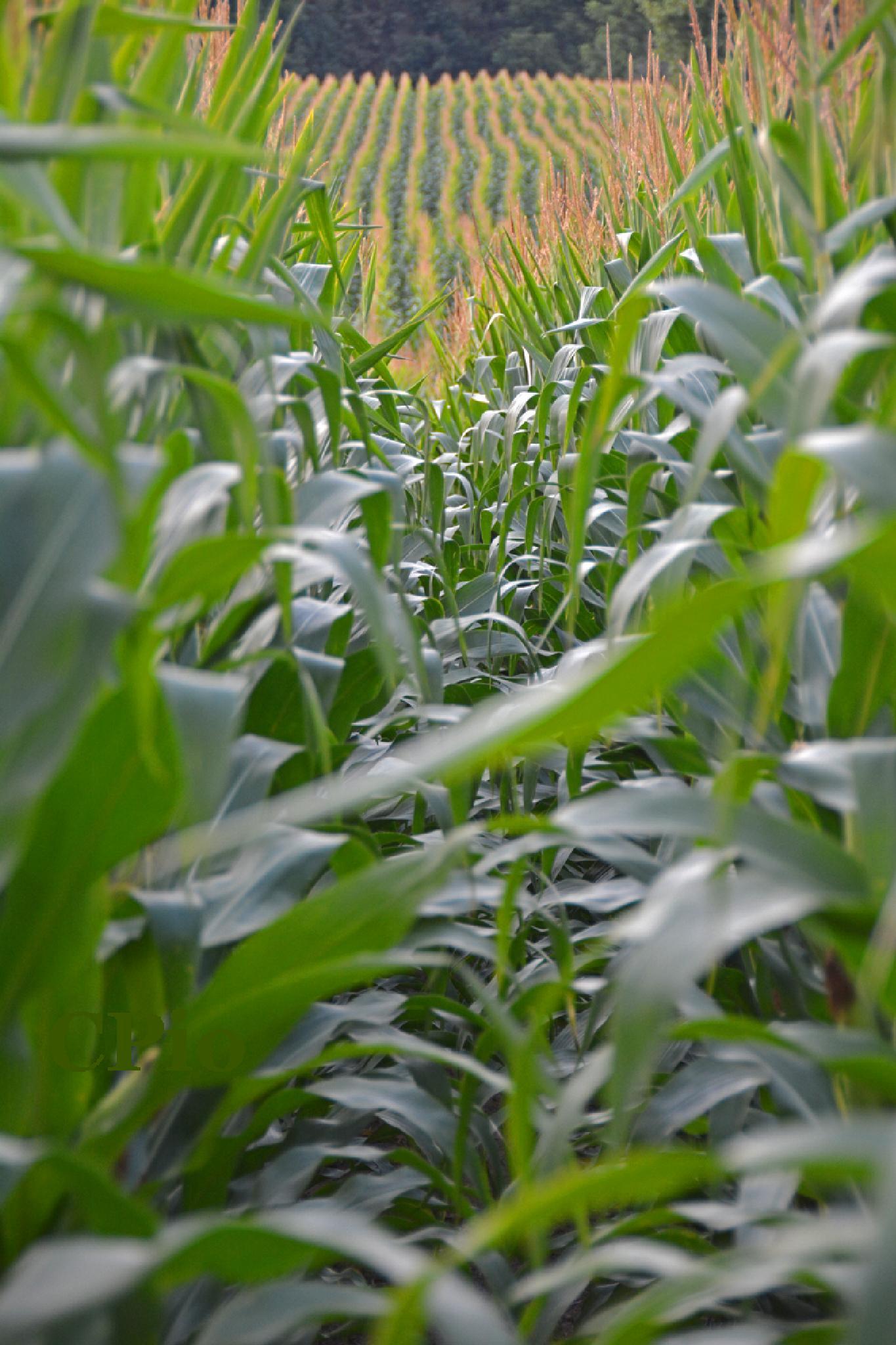 Corn Field by Cesar Pedro