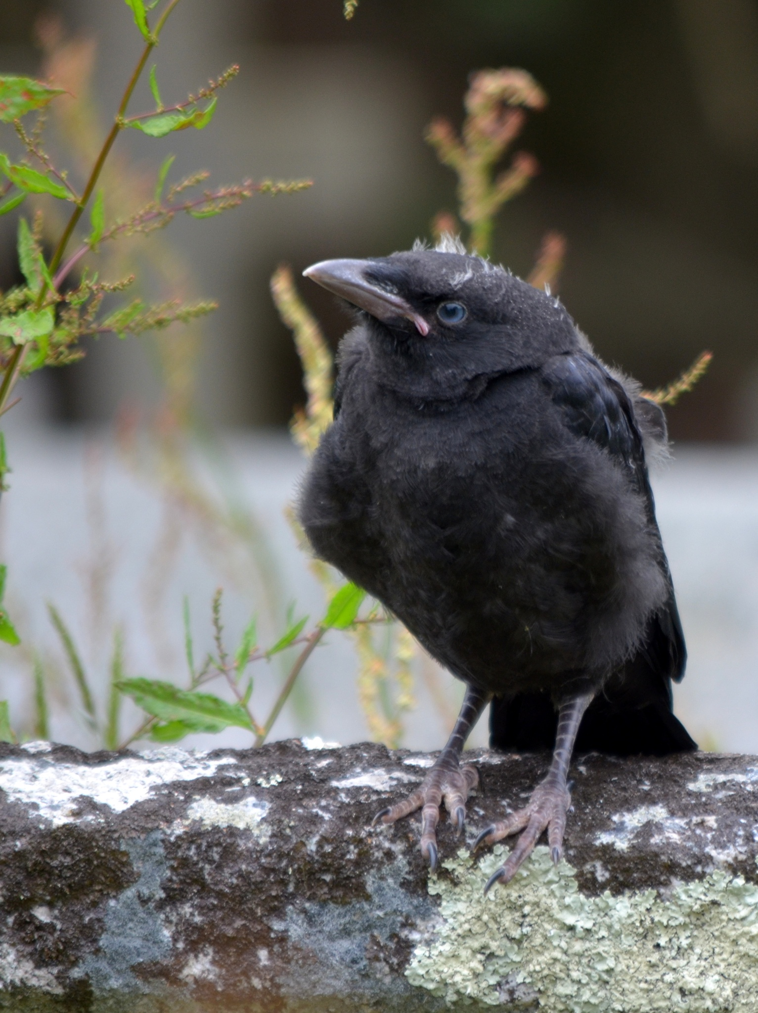 Photo in Animal #crow #bird #fledgling #black