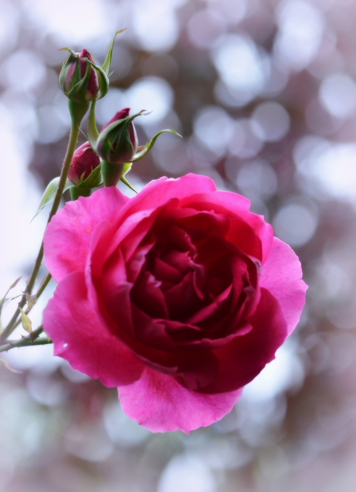 Rose bokeh by Sarah Fox