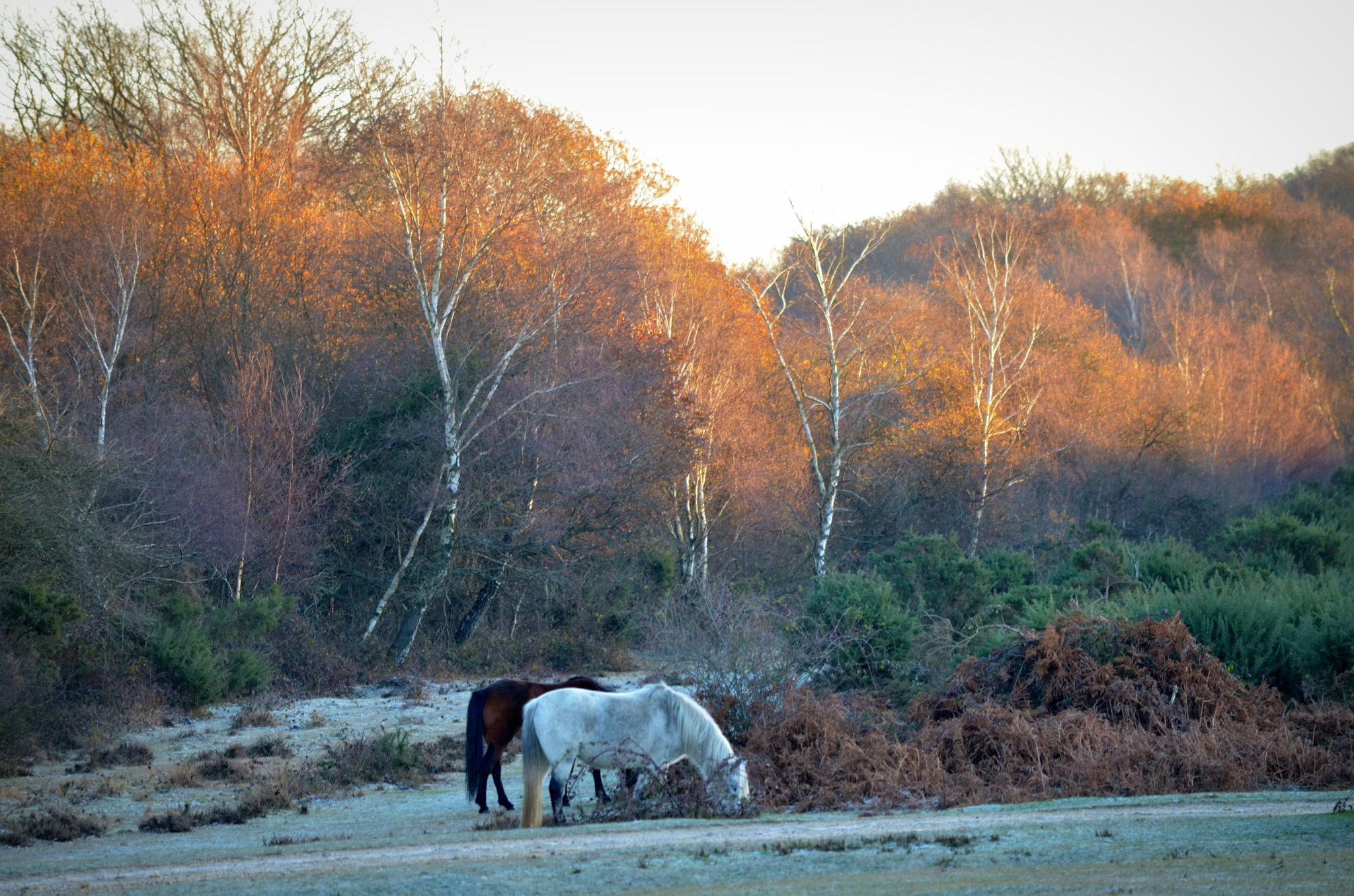 Frosty New Forest Morning by Sarah Fox