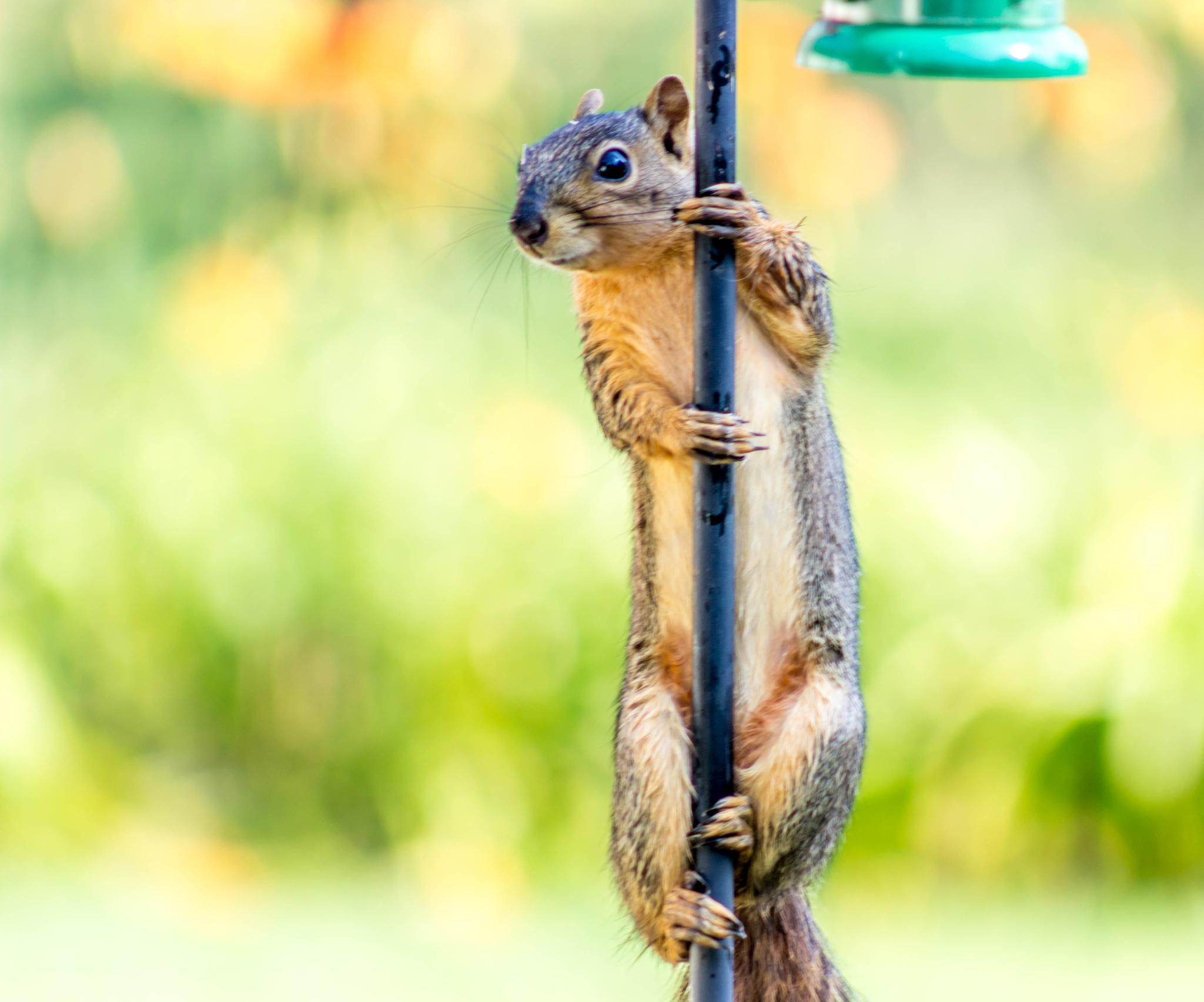 Pole Dancing Squirrel by Keith Fife