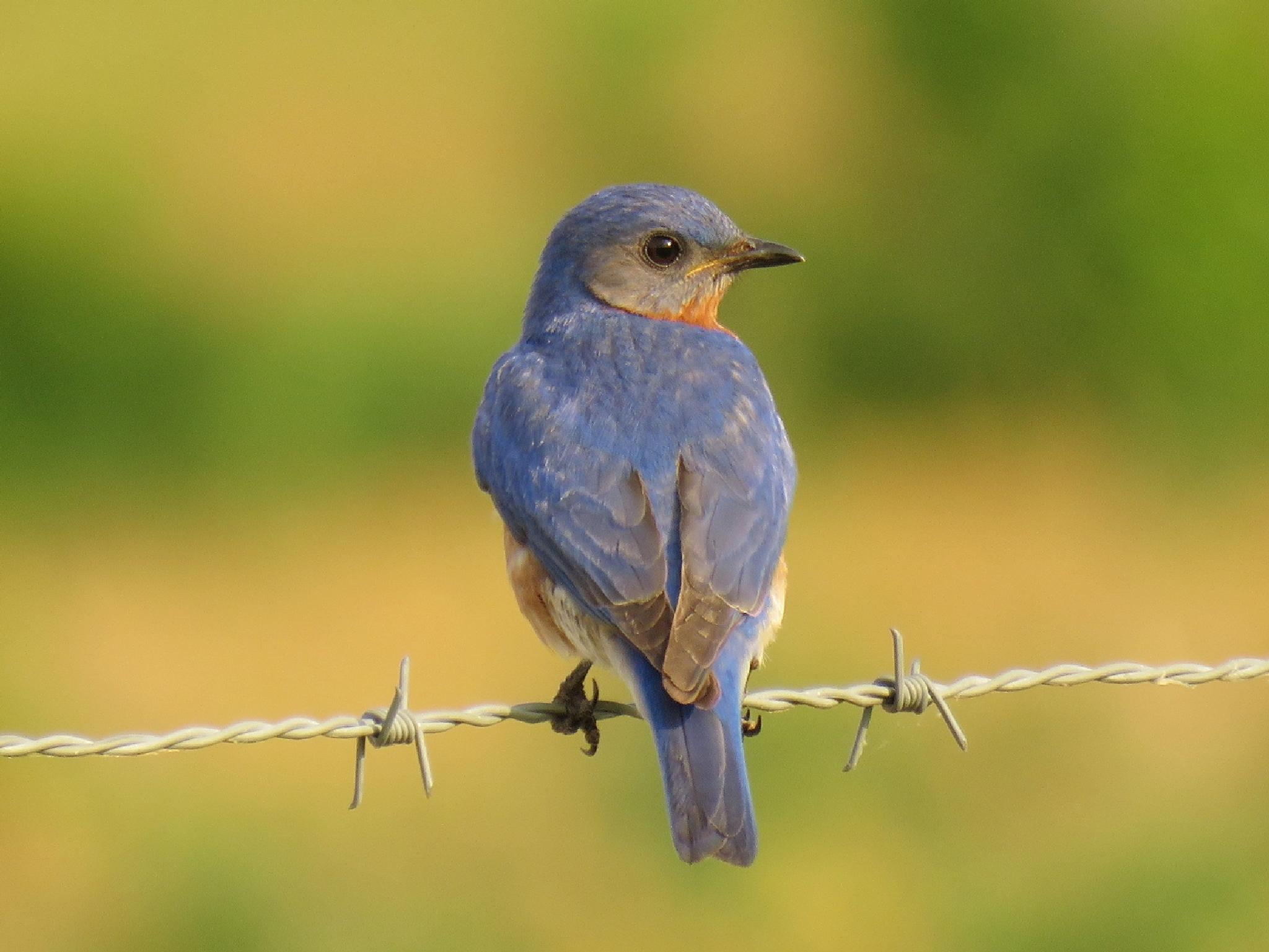 Bluebird by LonnaOurs