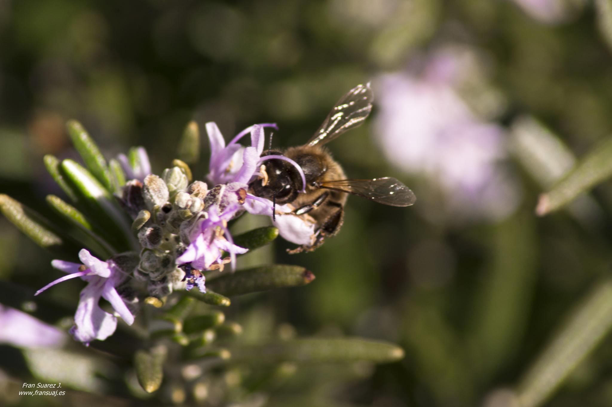 abeja en flor by fransuaji