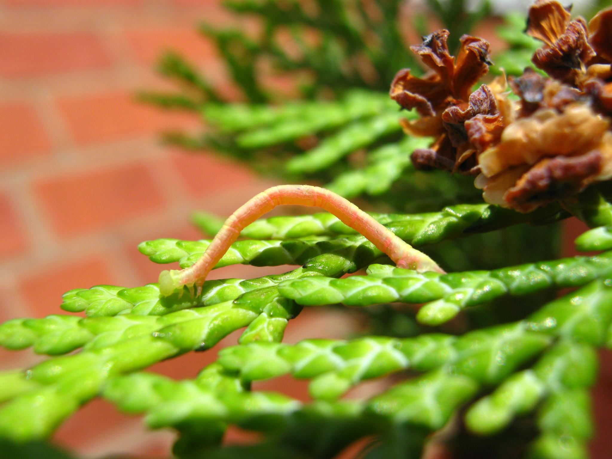 Tiny Caterpillar  by NatureBoy
