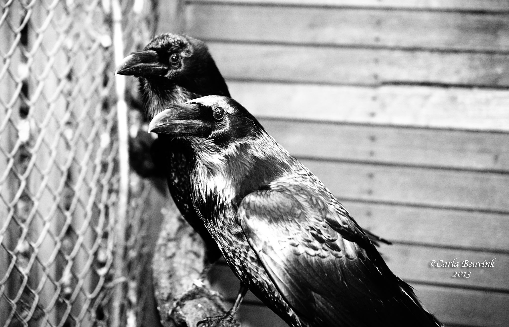 Black Ravens by Carla Beuvink
