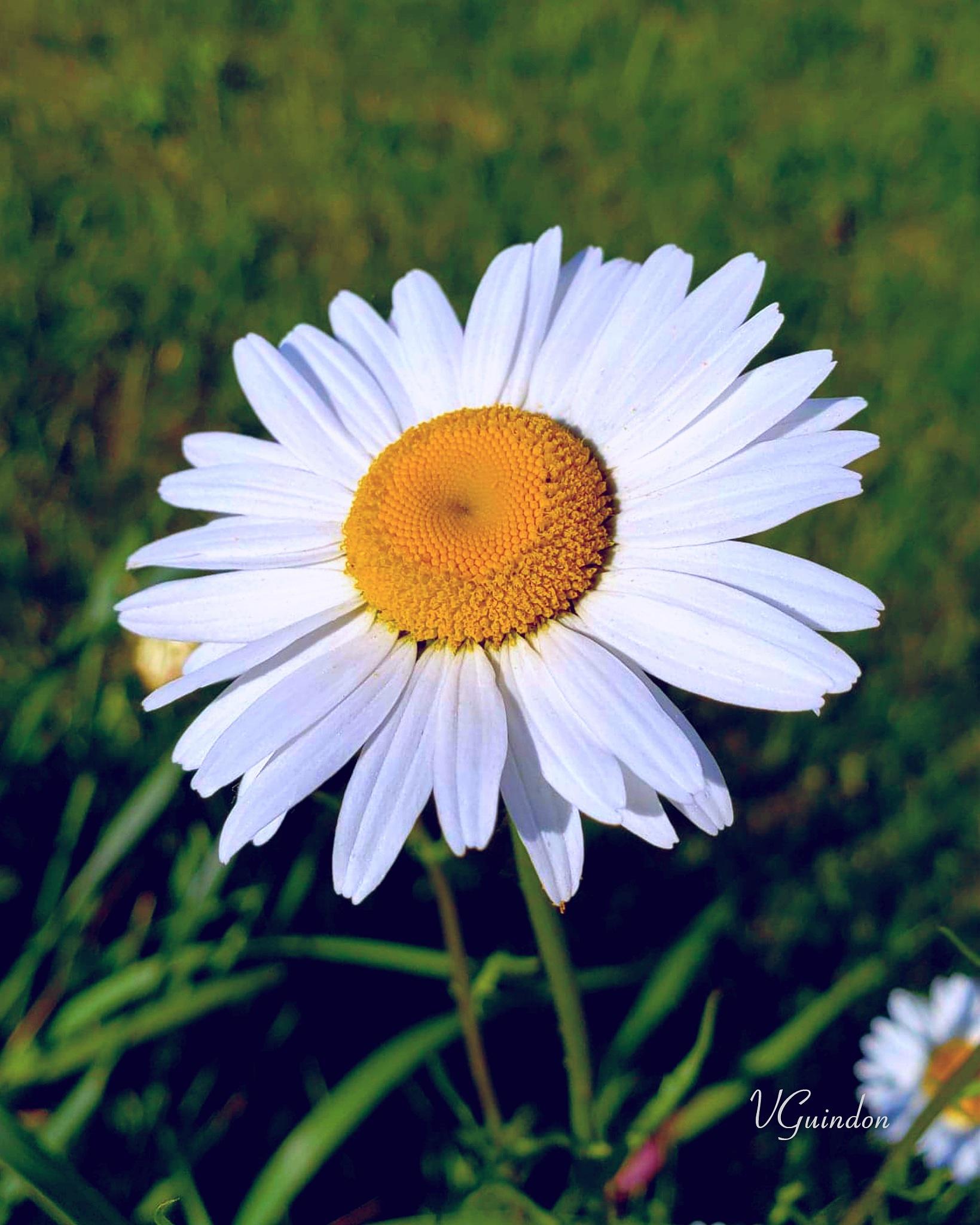Daisy by VGuindon