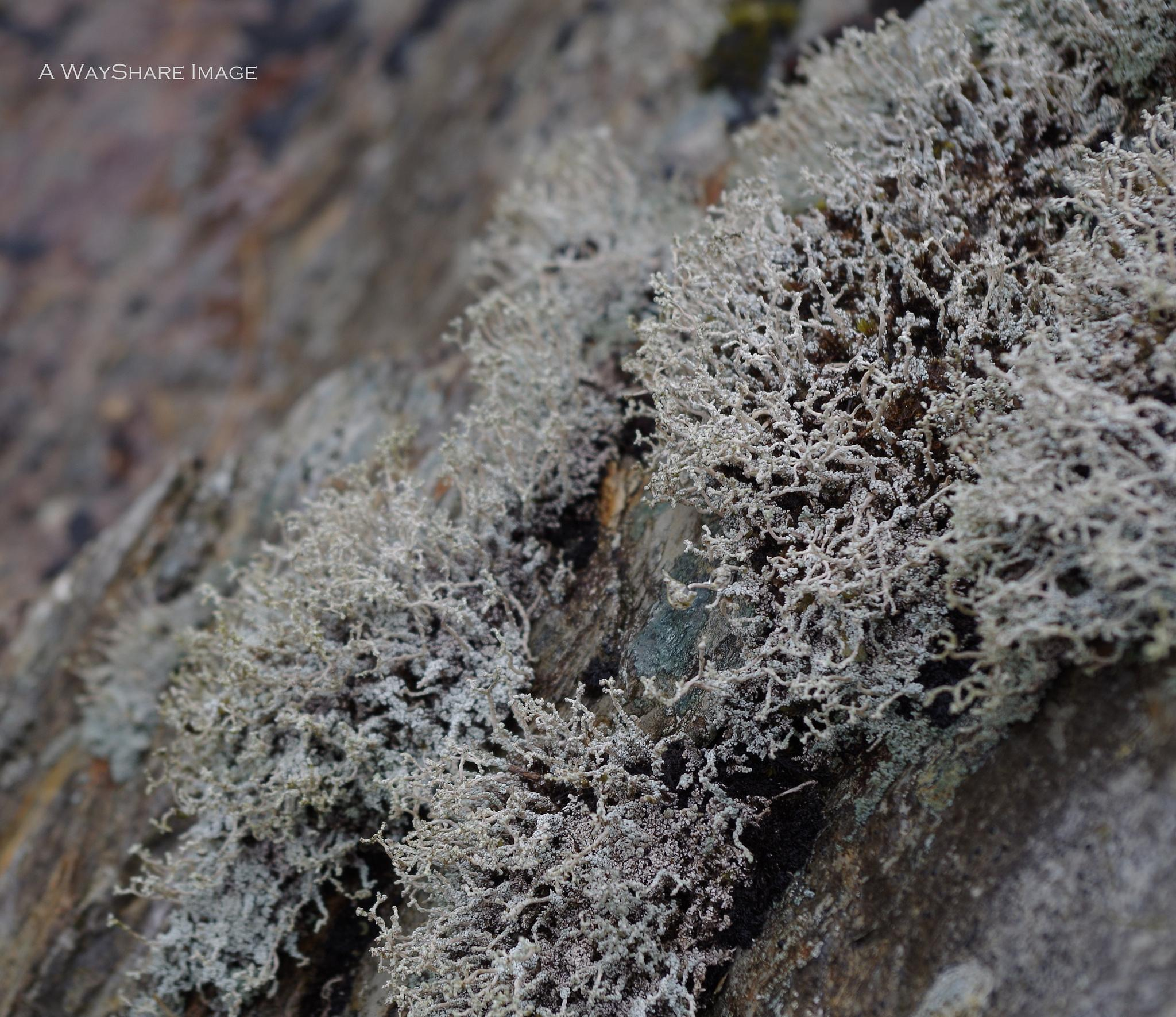 Grey lichen on rock by Andrew Hill