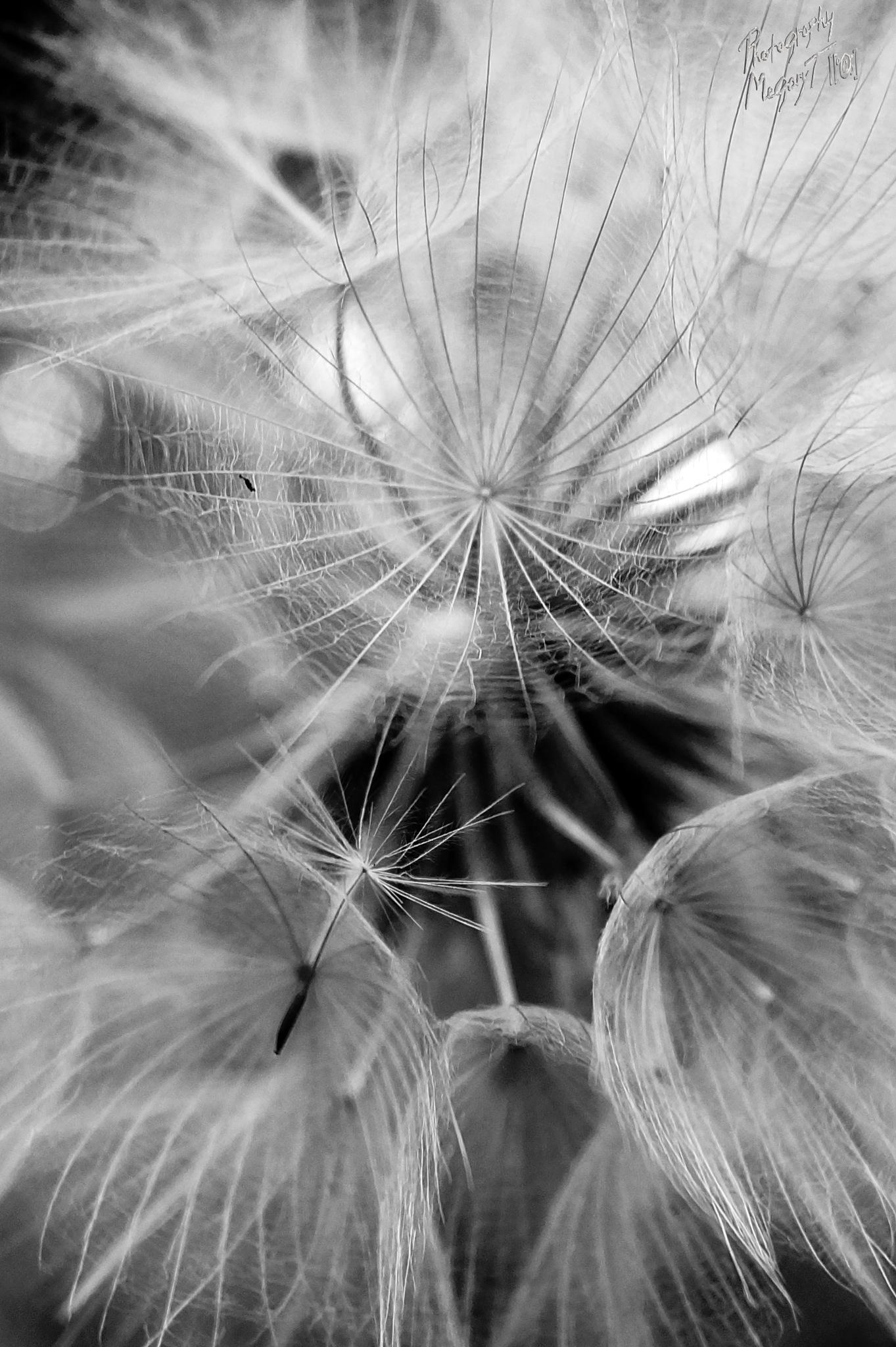 dandy by MegaryT [[°©;]