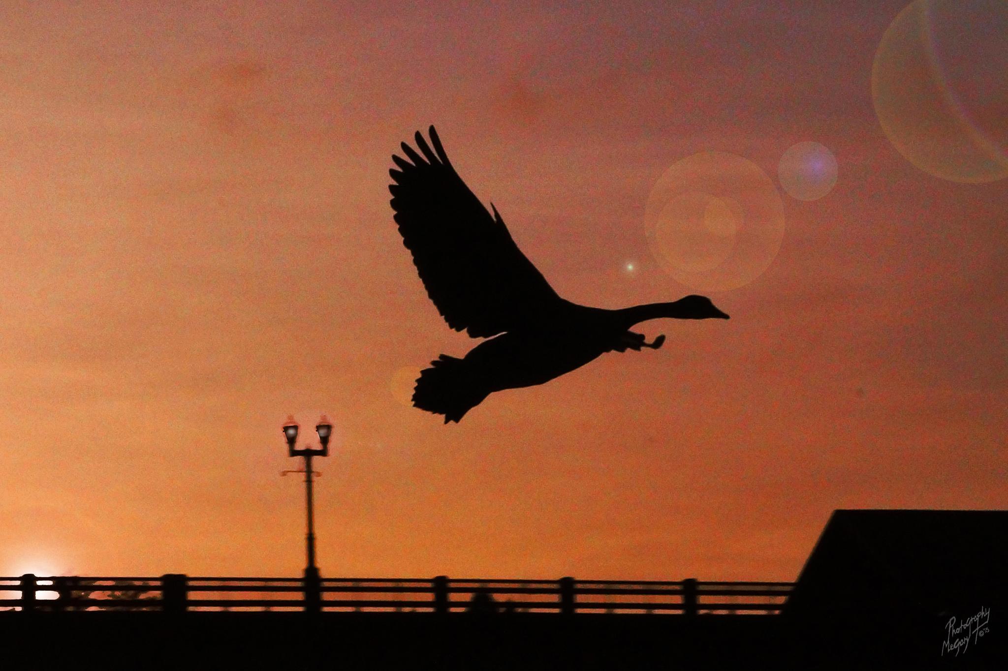 Sunset Goose by MegaryT [[°©;]