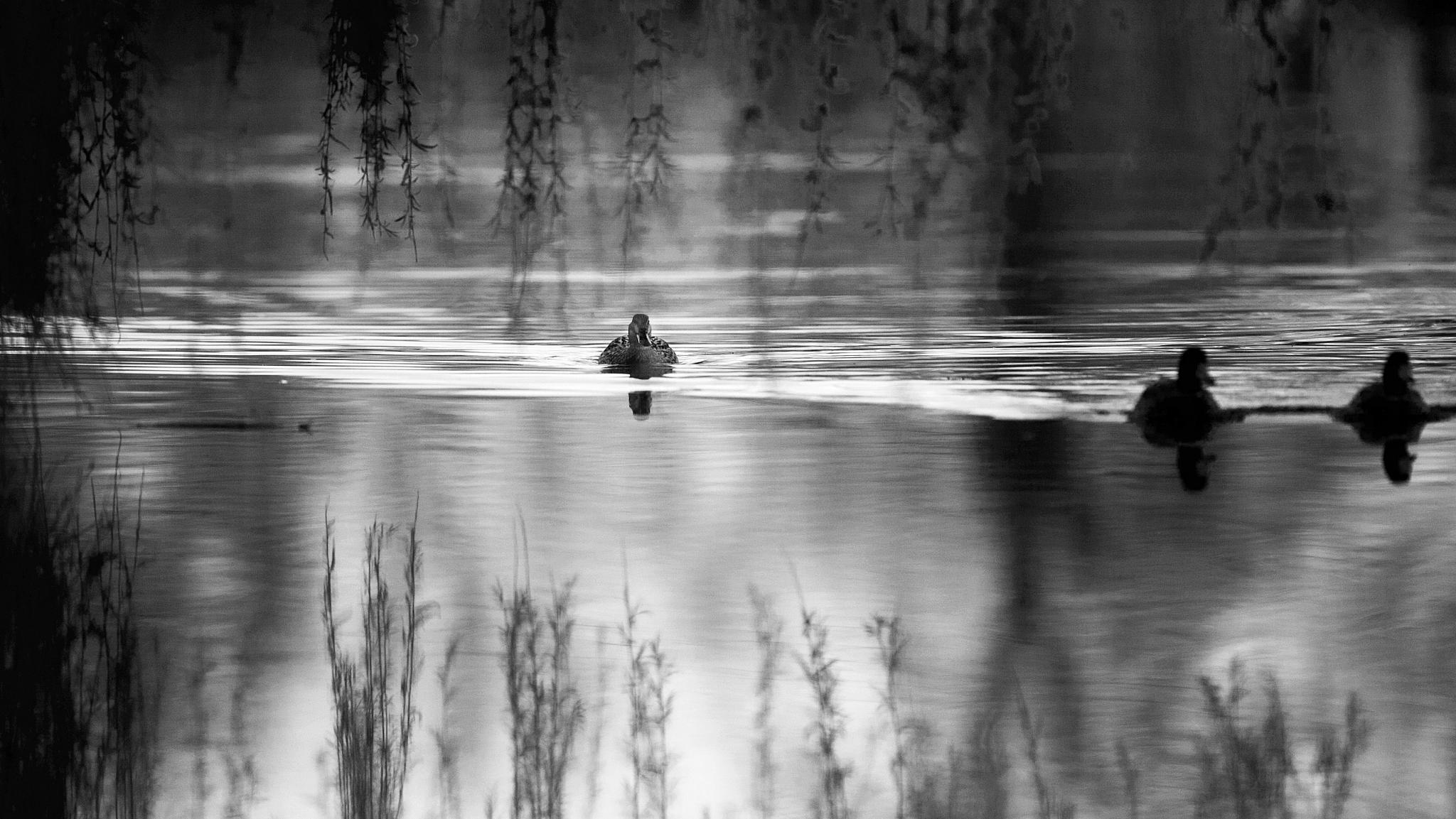 Ducks ........ Mallard Ducks !! by richard.beghin1