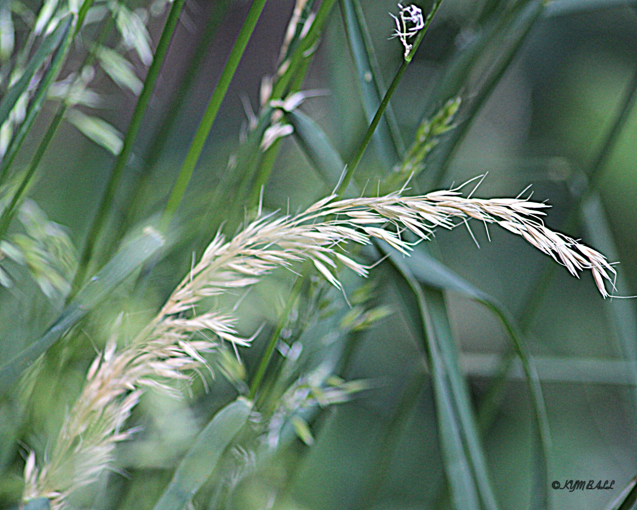 DRIED GRASS by kymball58