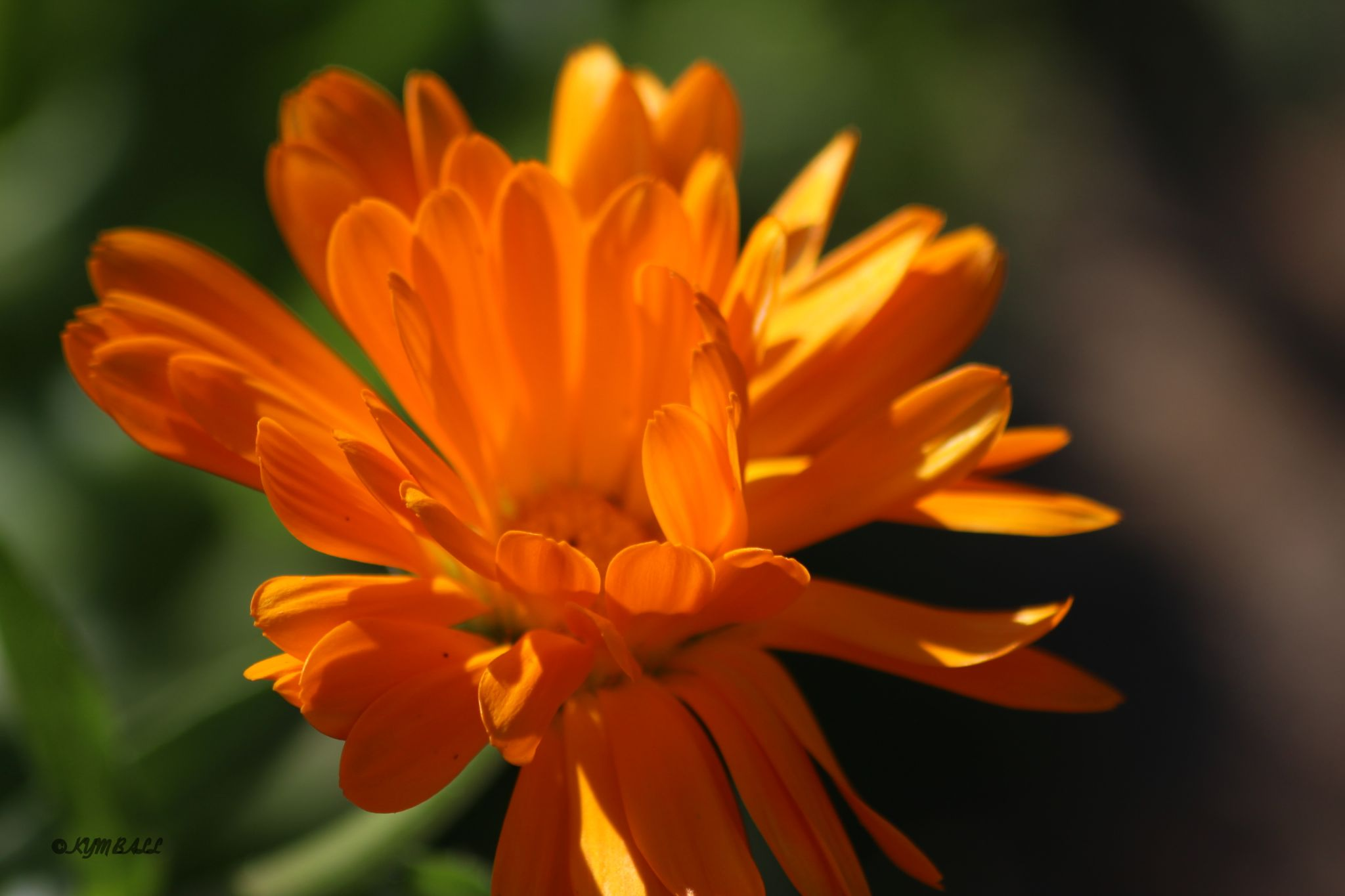 MARIGOLD by kymball58