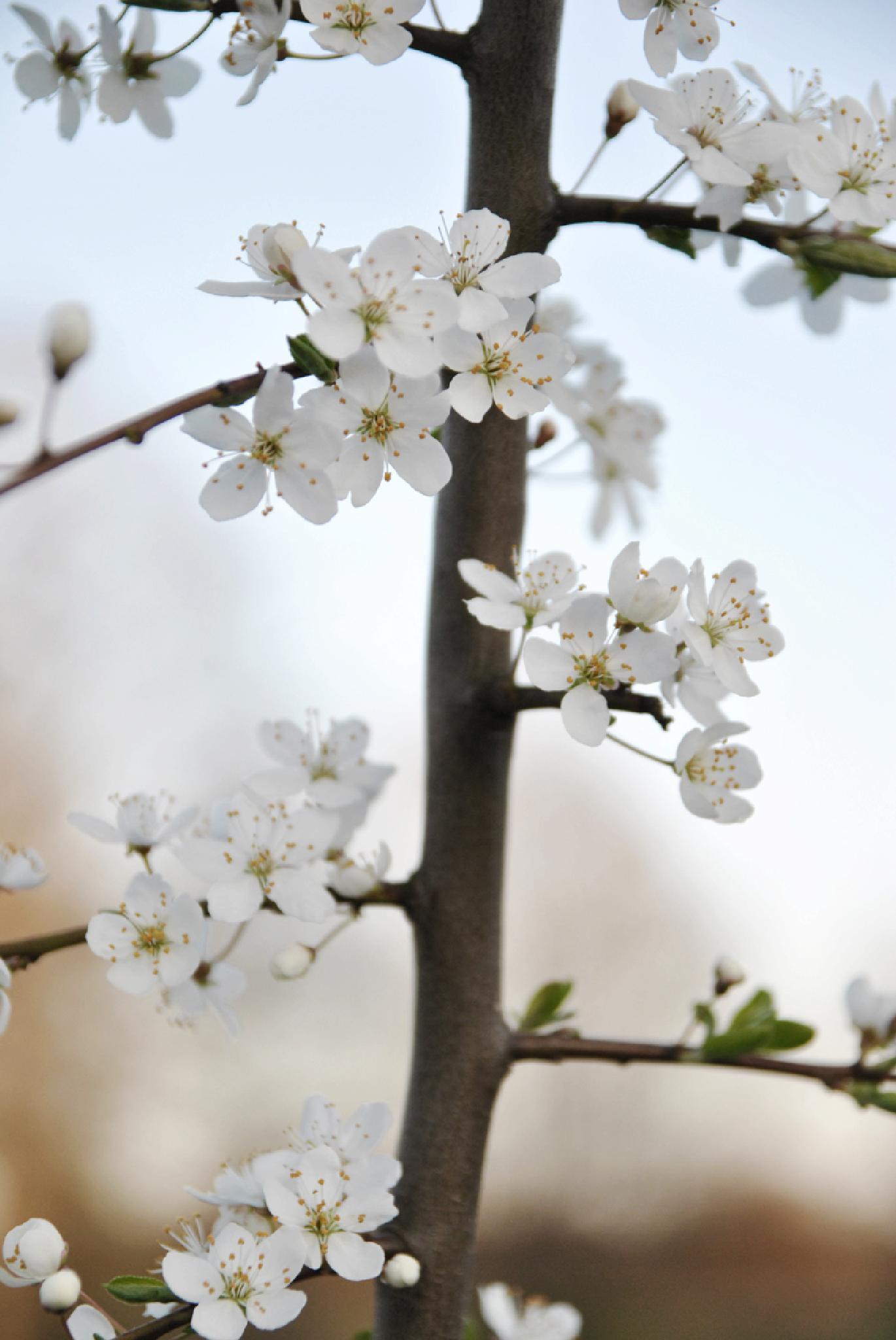 White Flowers by Jennie Sand