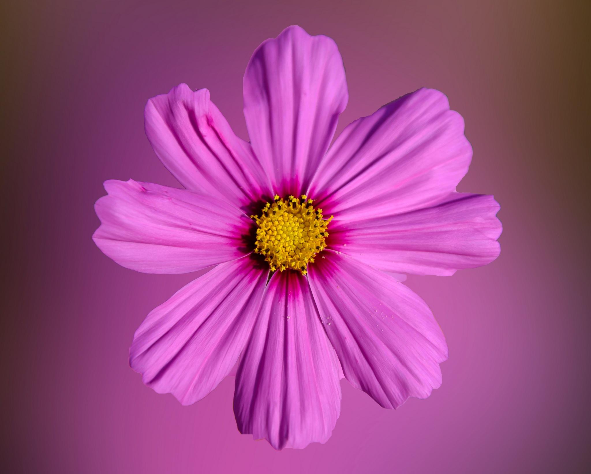 Pink beauty. by Stamatis Vlahos
