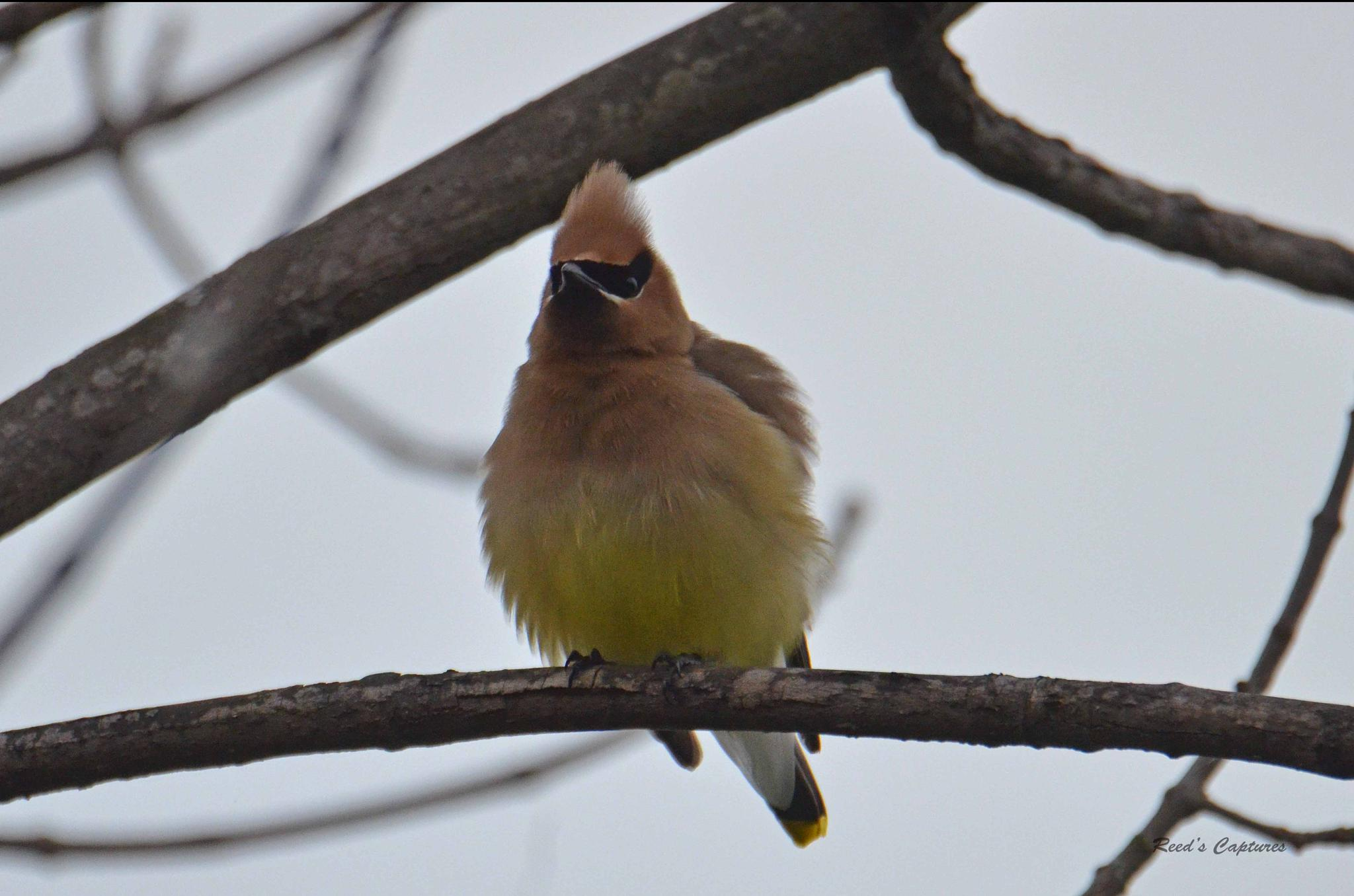 Cedar Waxwing all puffed out by Rich Reed