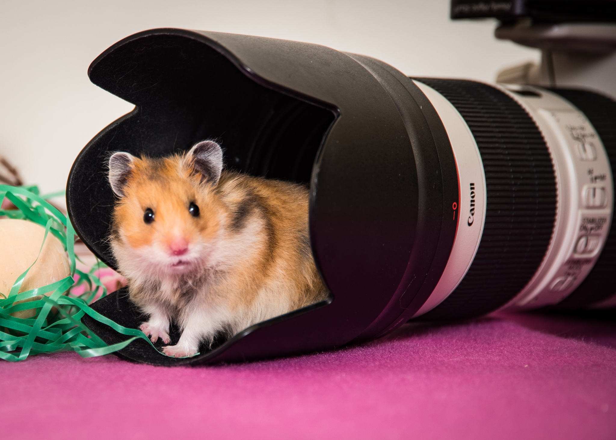 Hamster in the 'Hood by Janis Knight / Home Planet Images