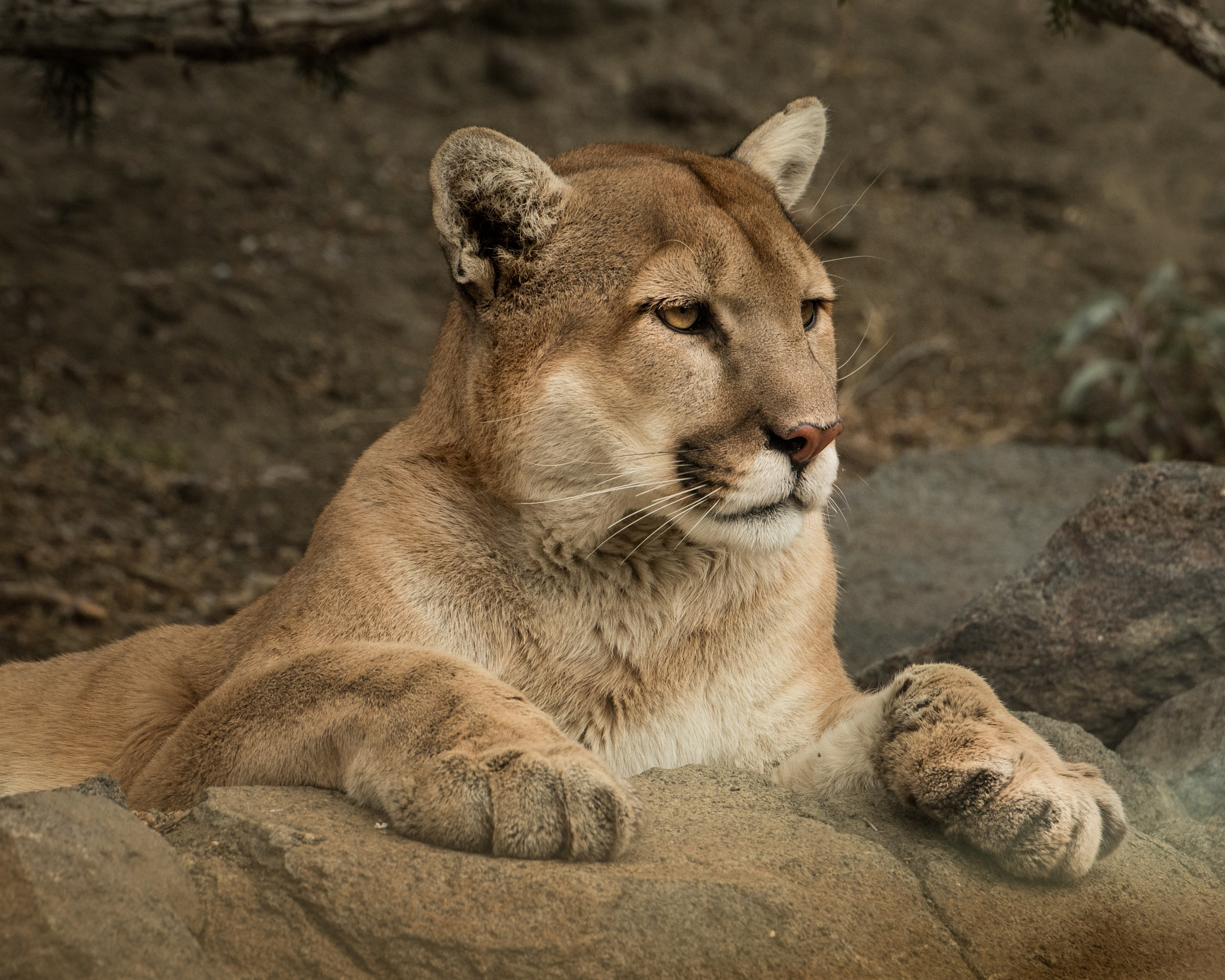 Mountain Lion 3307 by Janis Knight / Home Planet Images