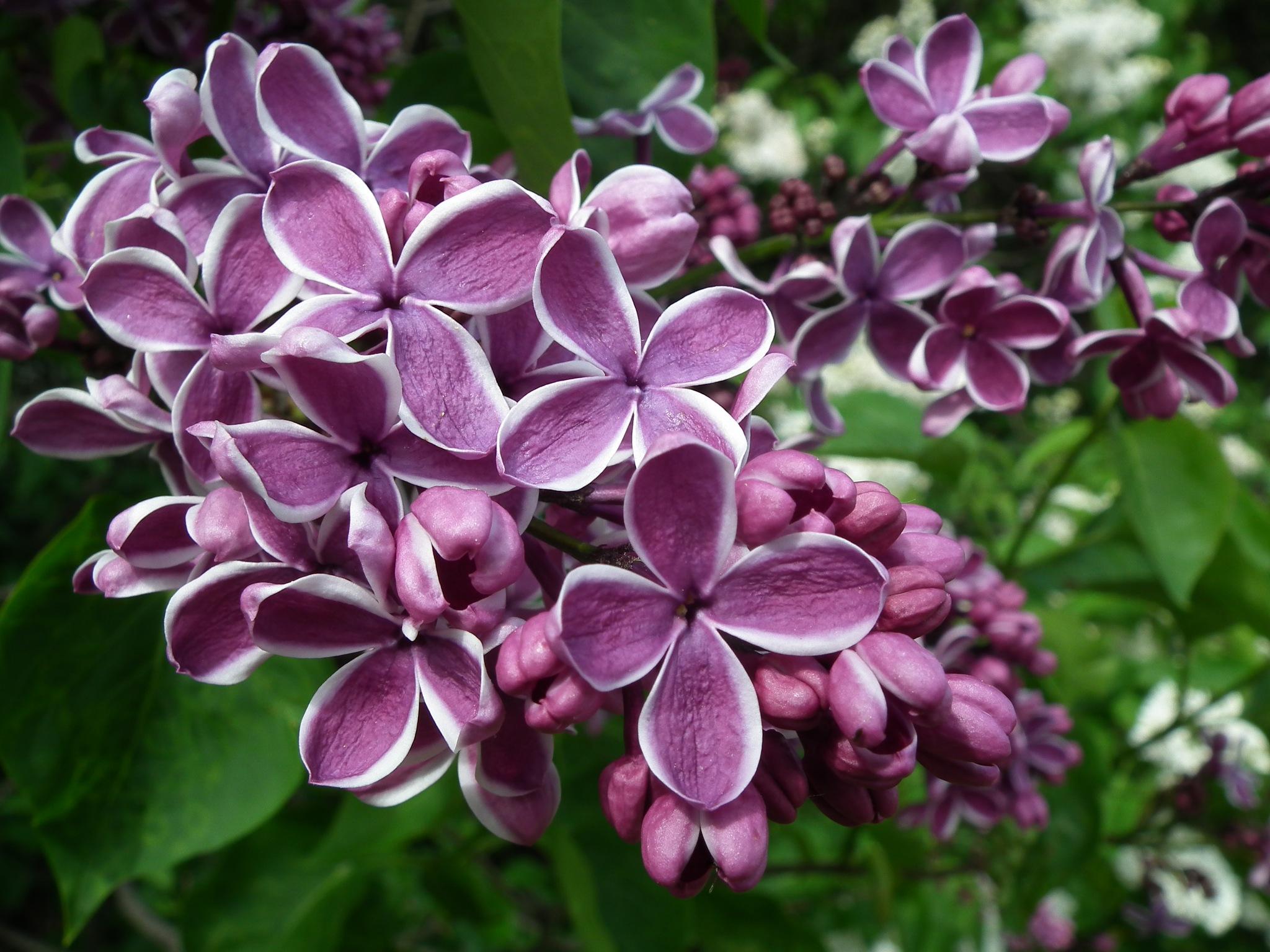 Lilacs  by misha.hunter.75