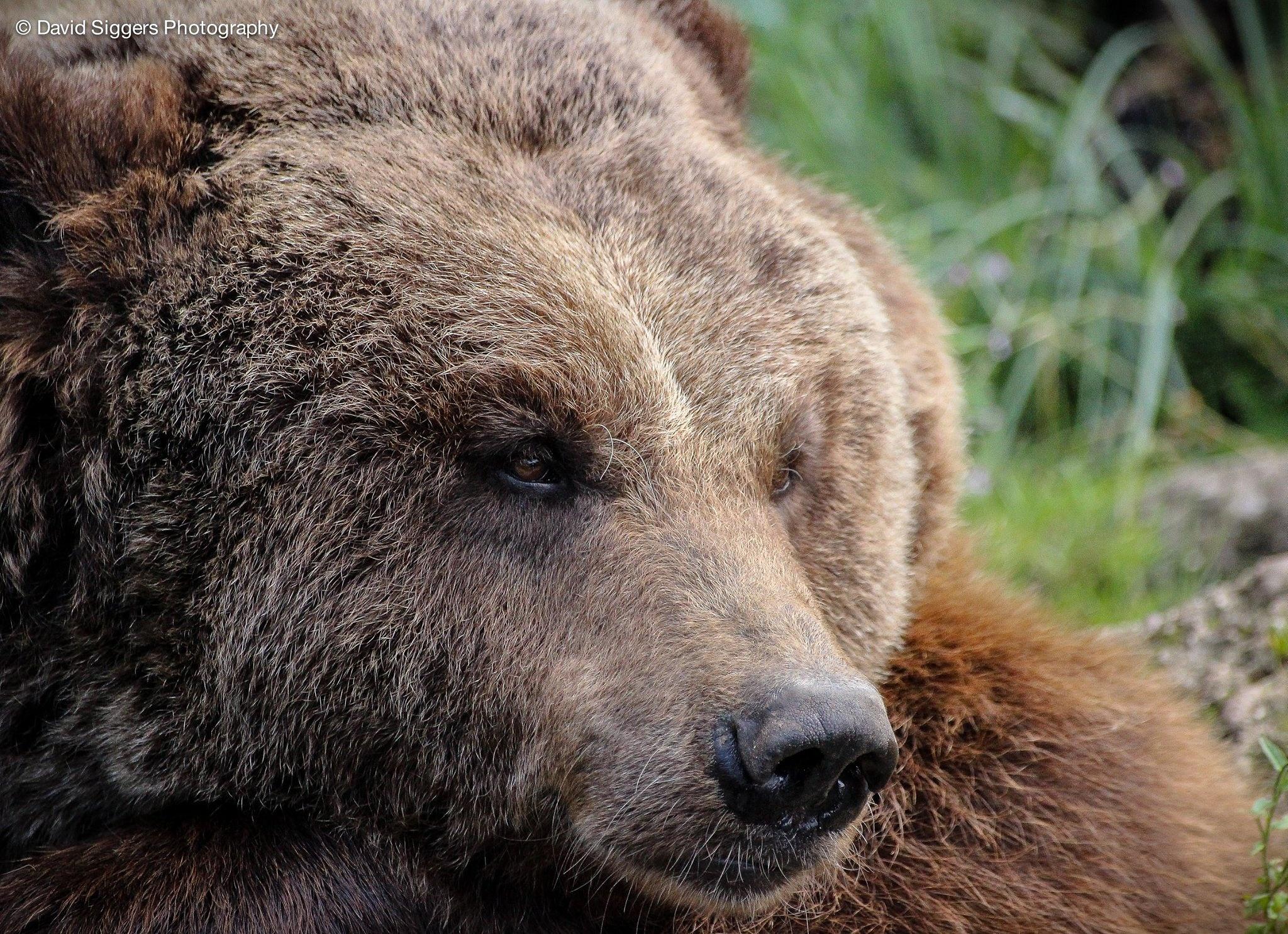 Brown Bear by David Siggers