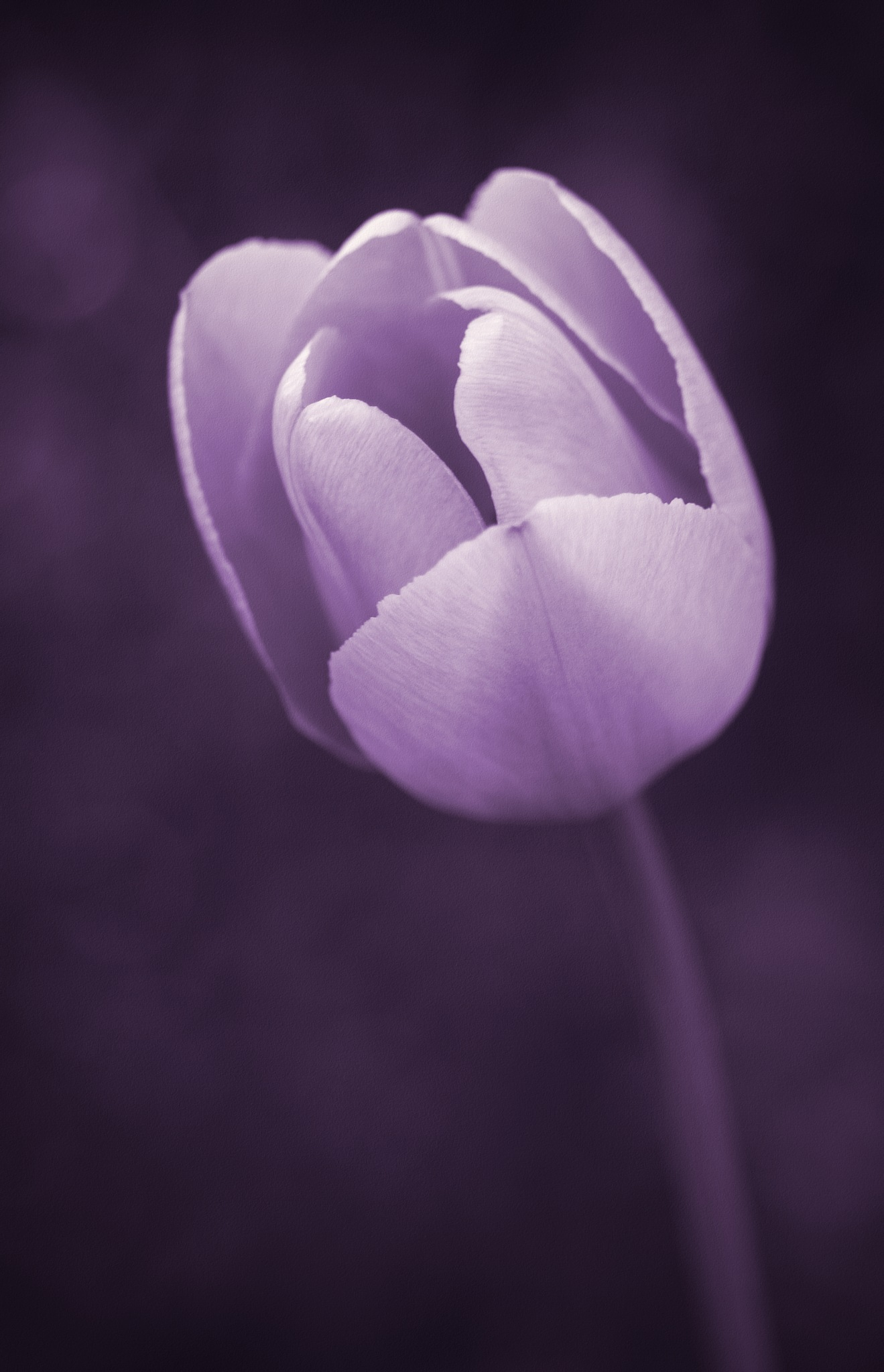Purple Tulip by David Siggers