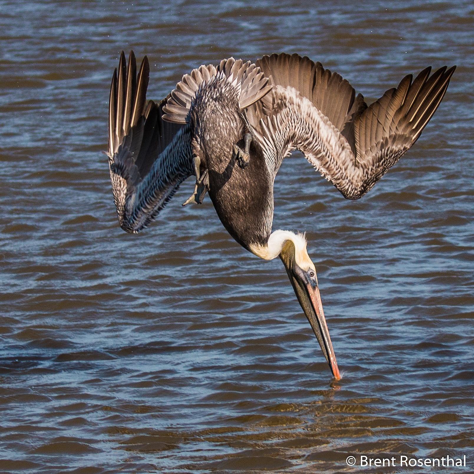 Brown pelican fishing by Brent Rosenthal