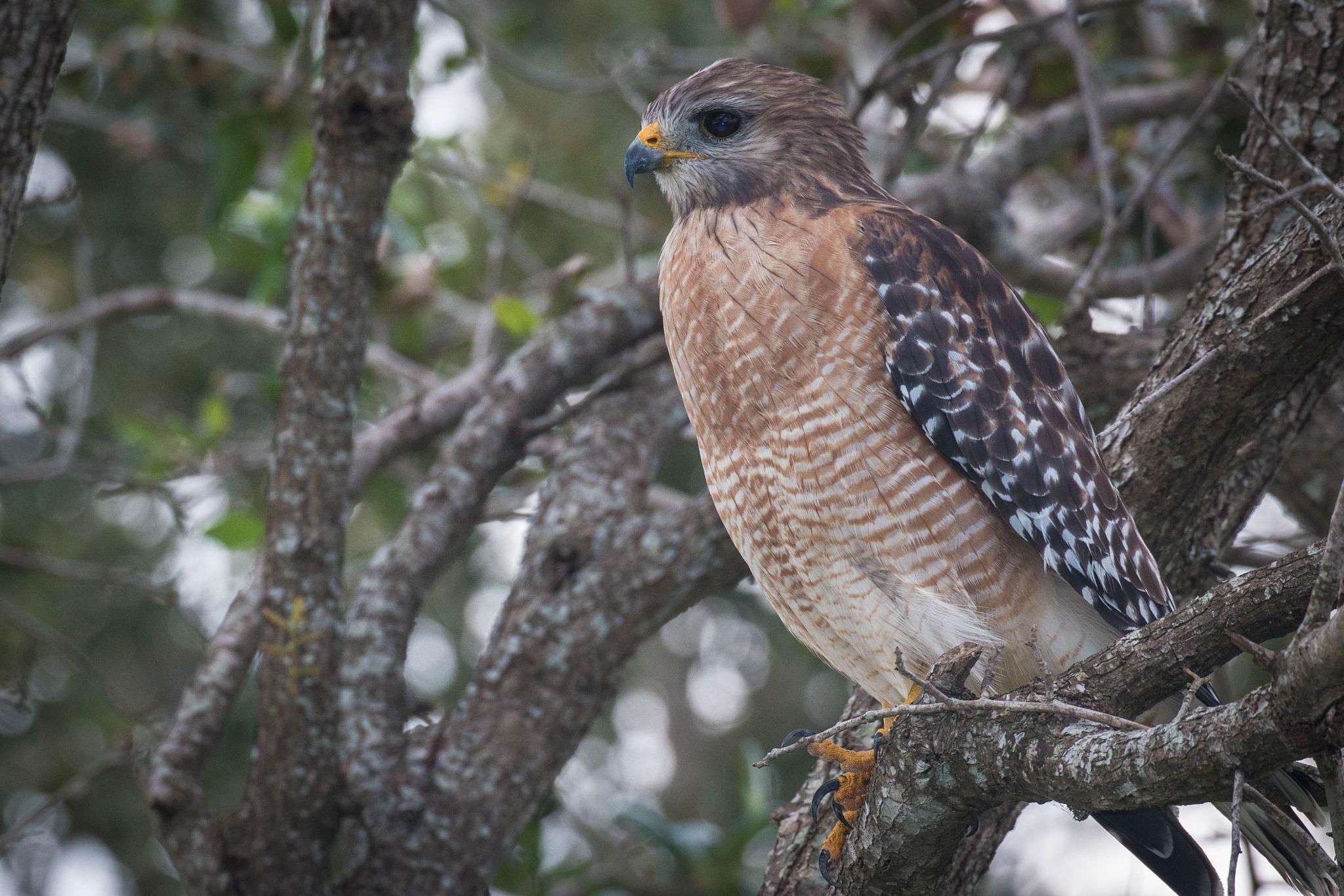 Red Shouldered Hawk by Brent Rosenthal