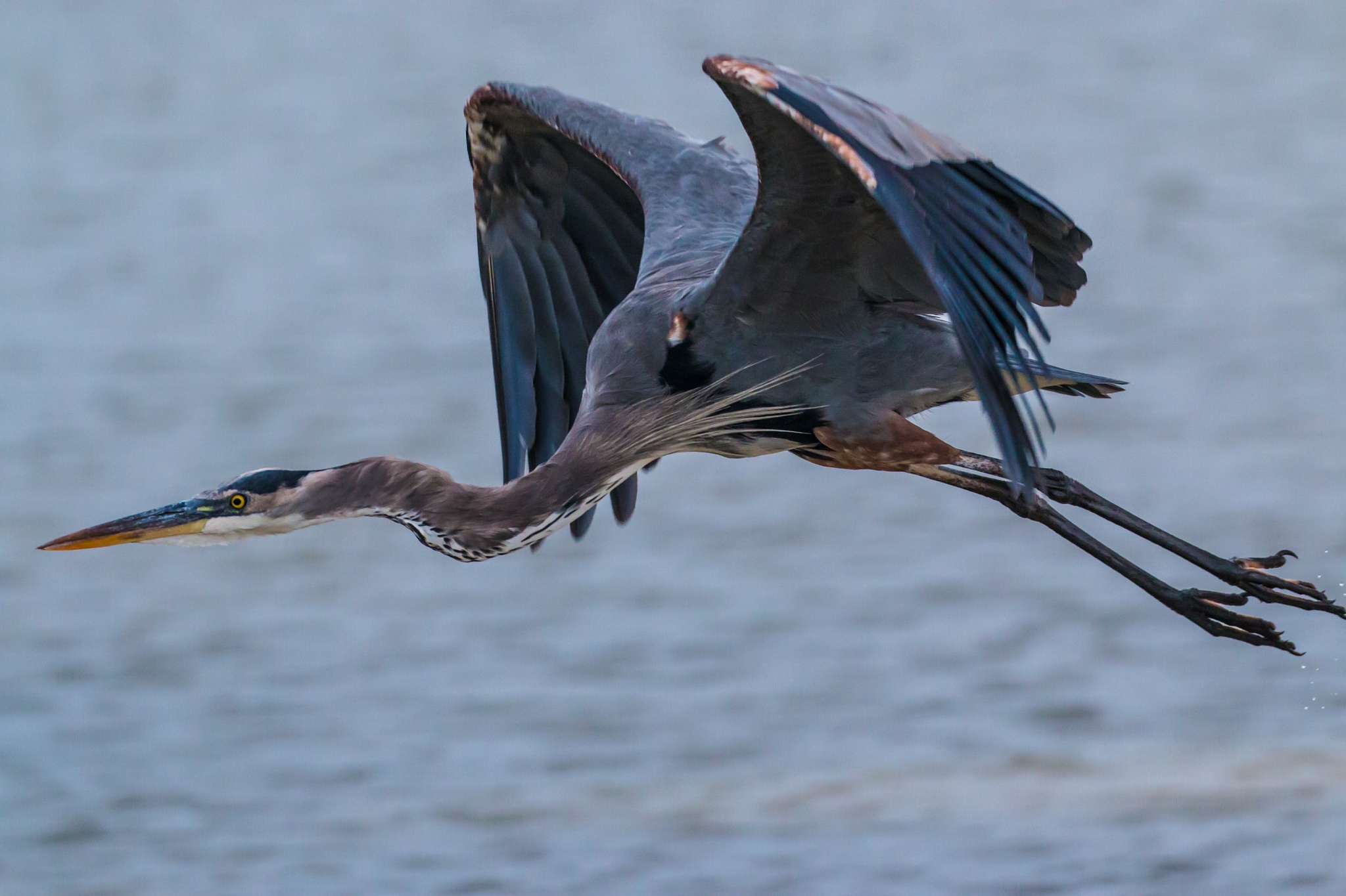 Great Blue Heron by Brent Rosenthal