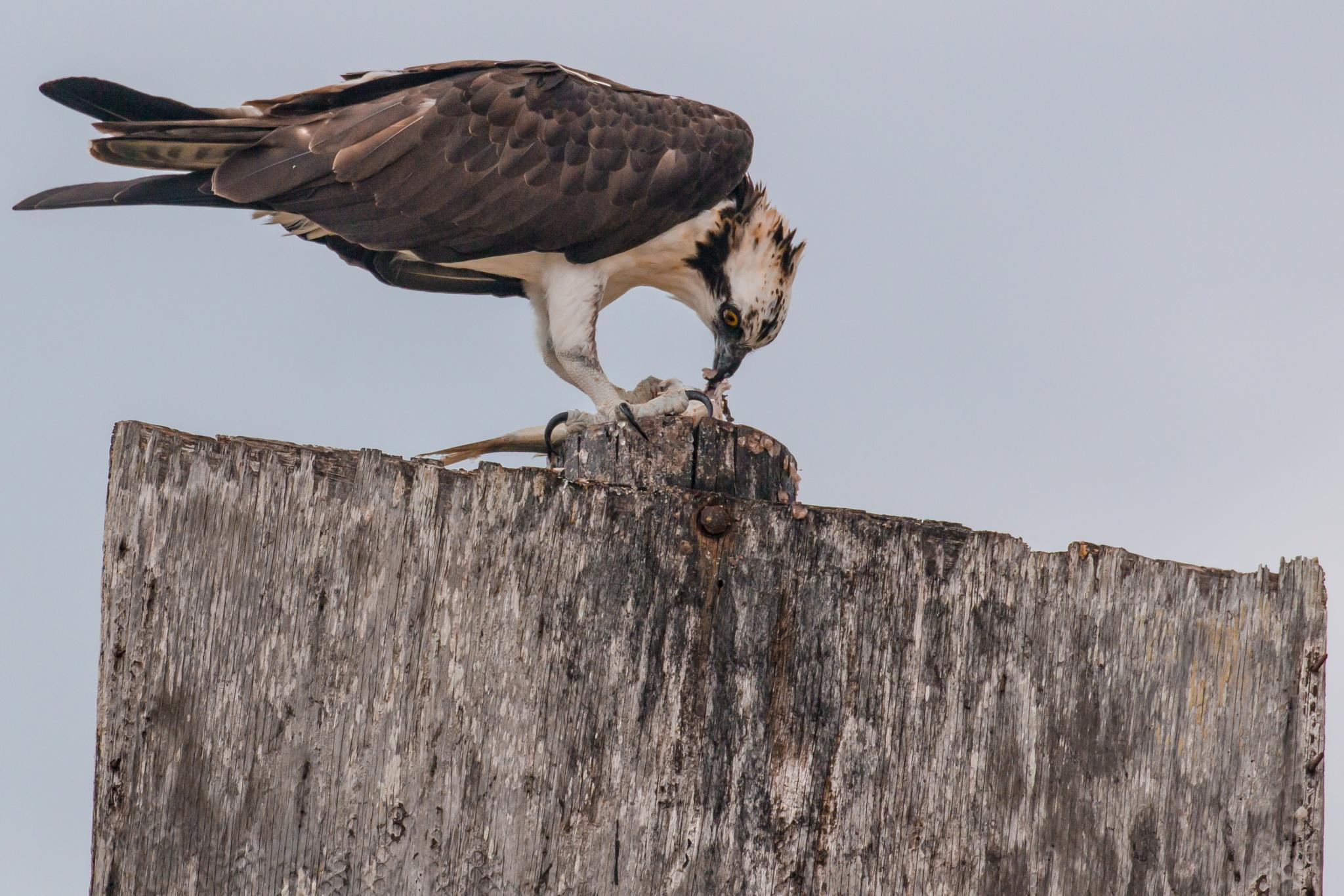 Osprey having dinner by Brent Rosenthal