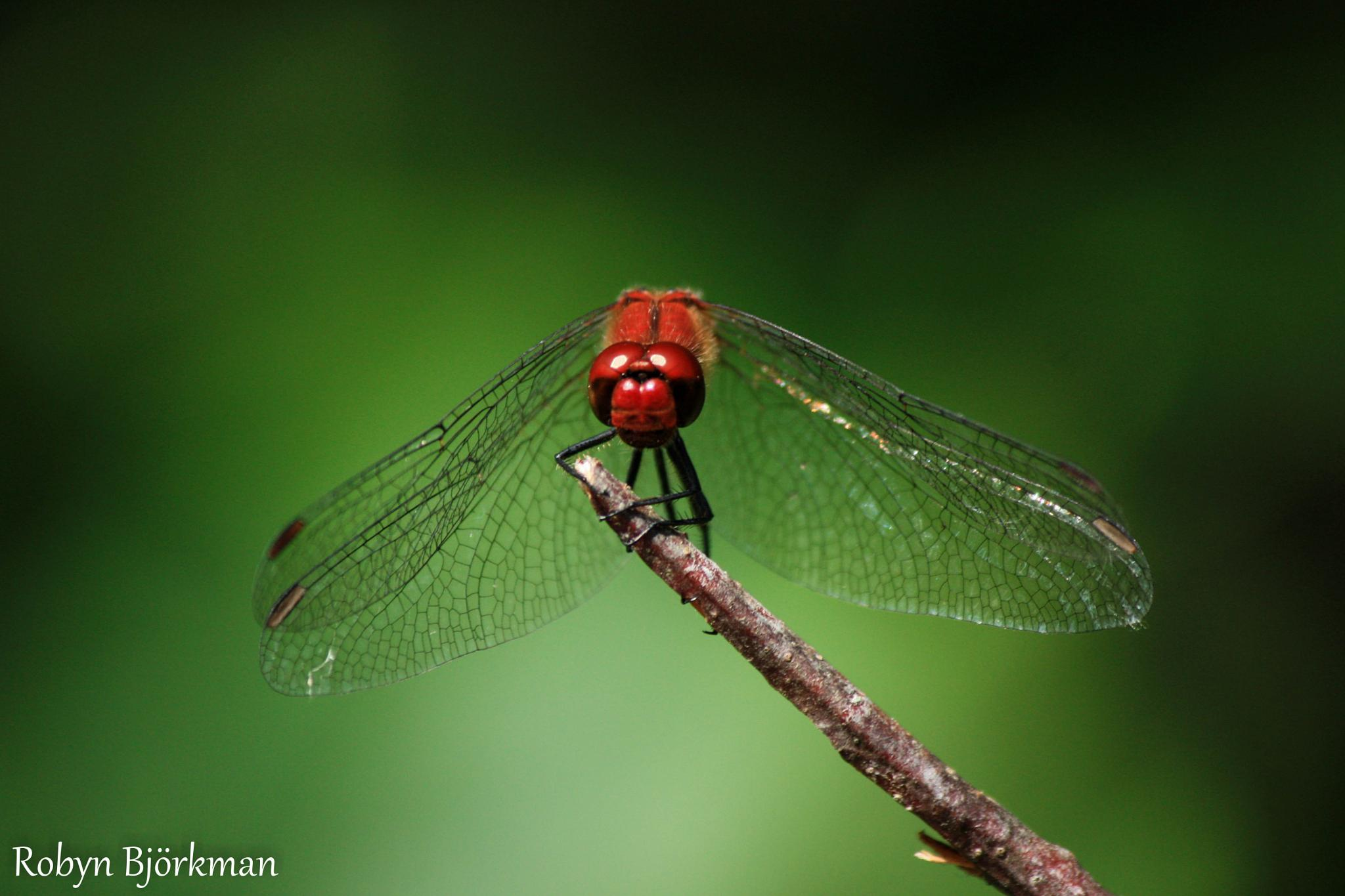 Dragonfly by Photographs For Fun