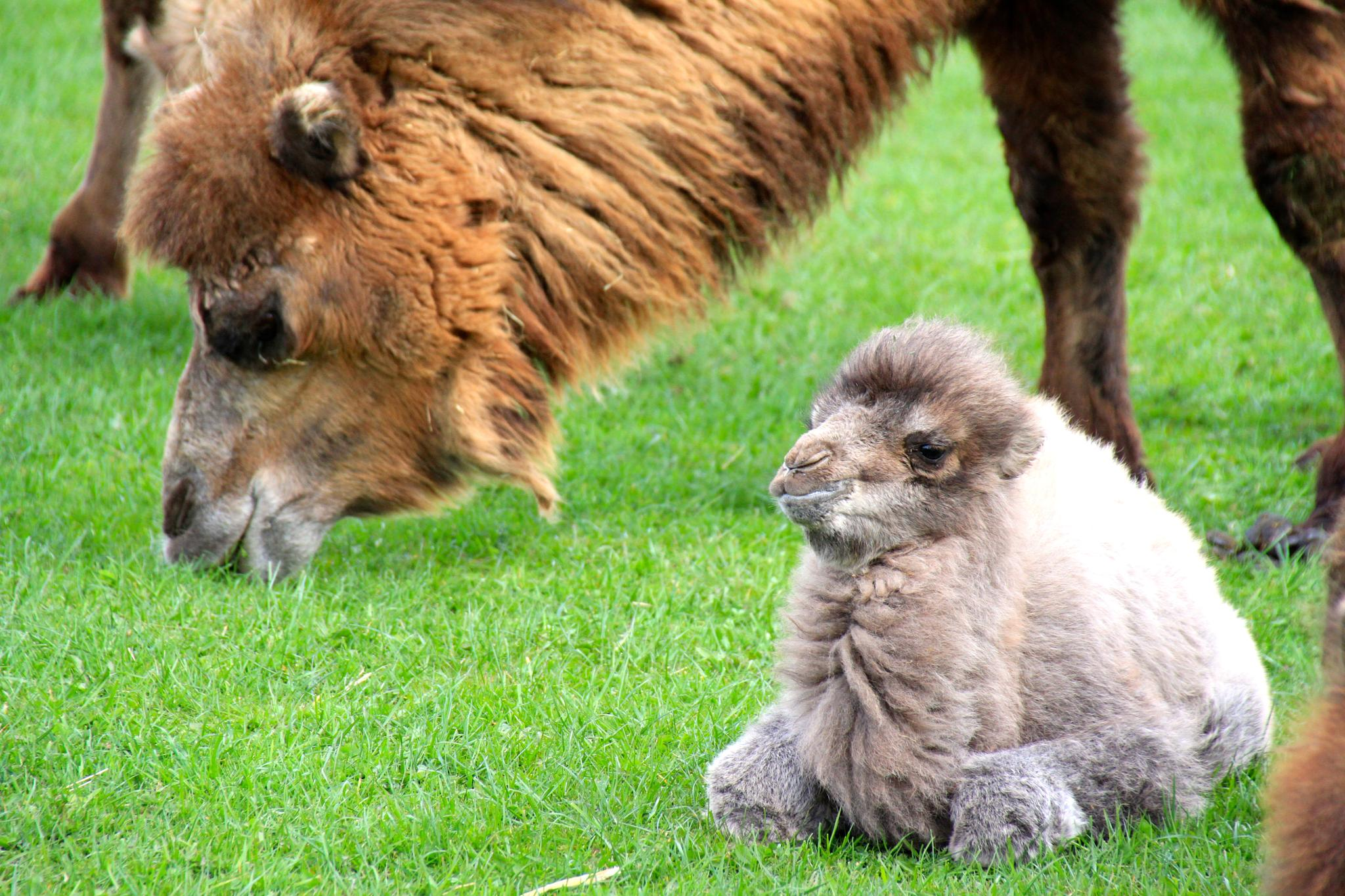 Baby Camel by Martin Roper