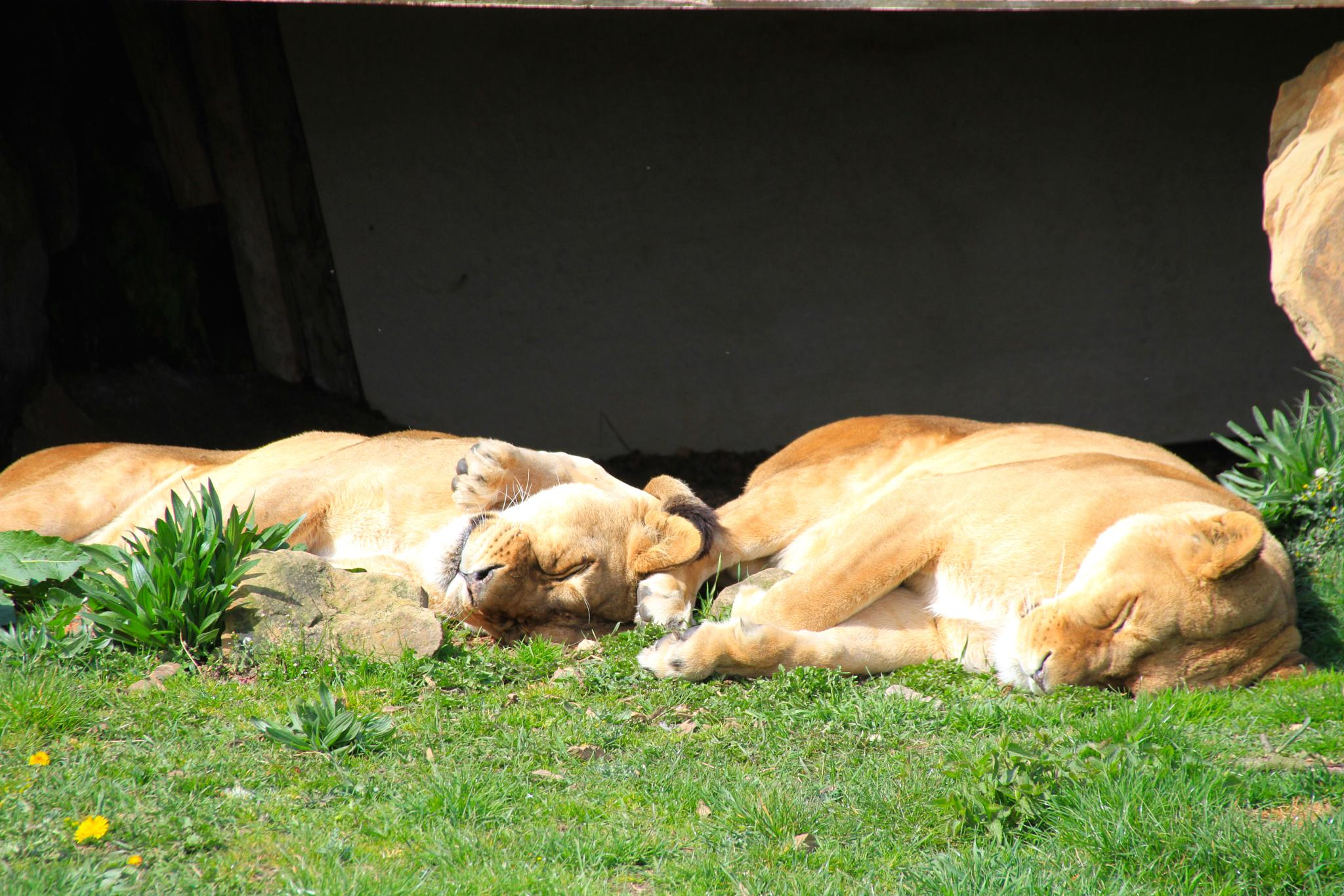 Lions - Lazy Days by Martin Roper