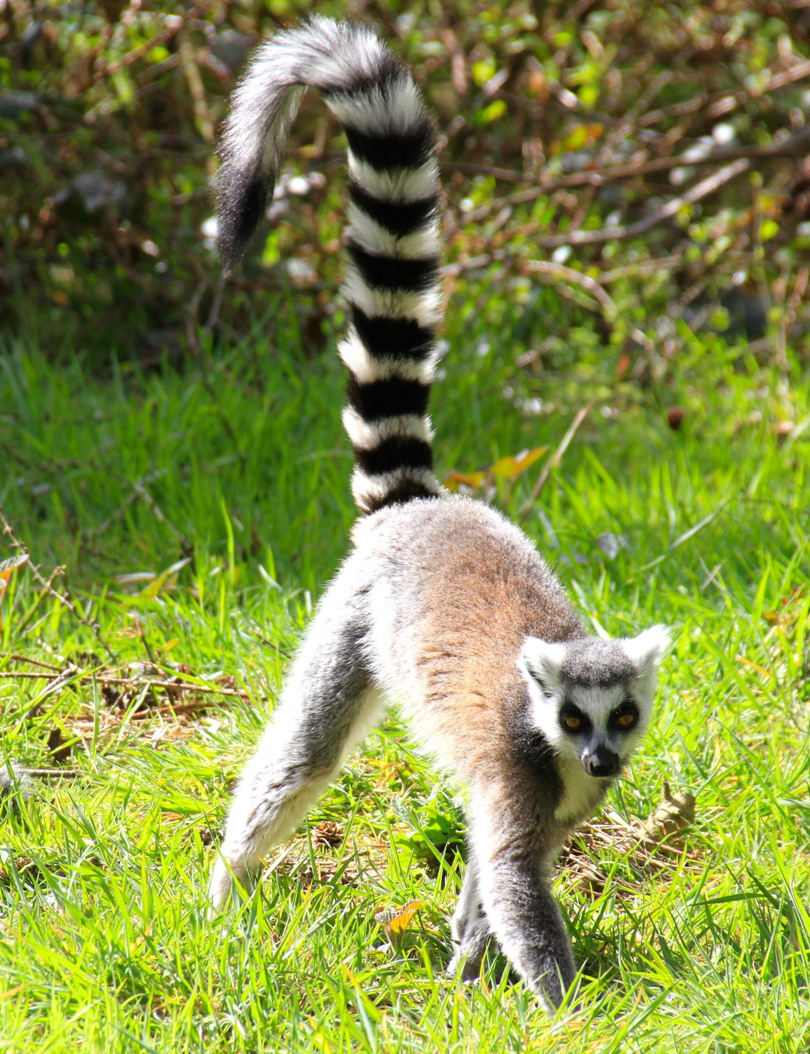 Lemur by Martin Roper