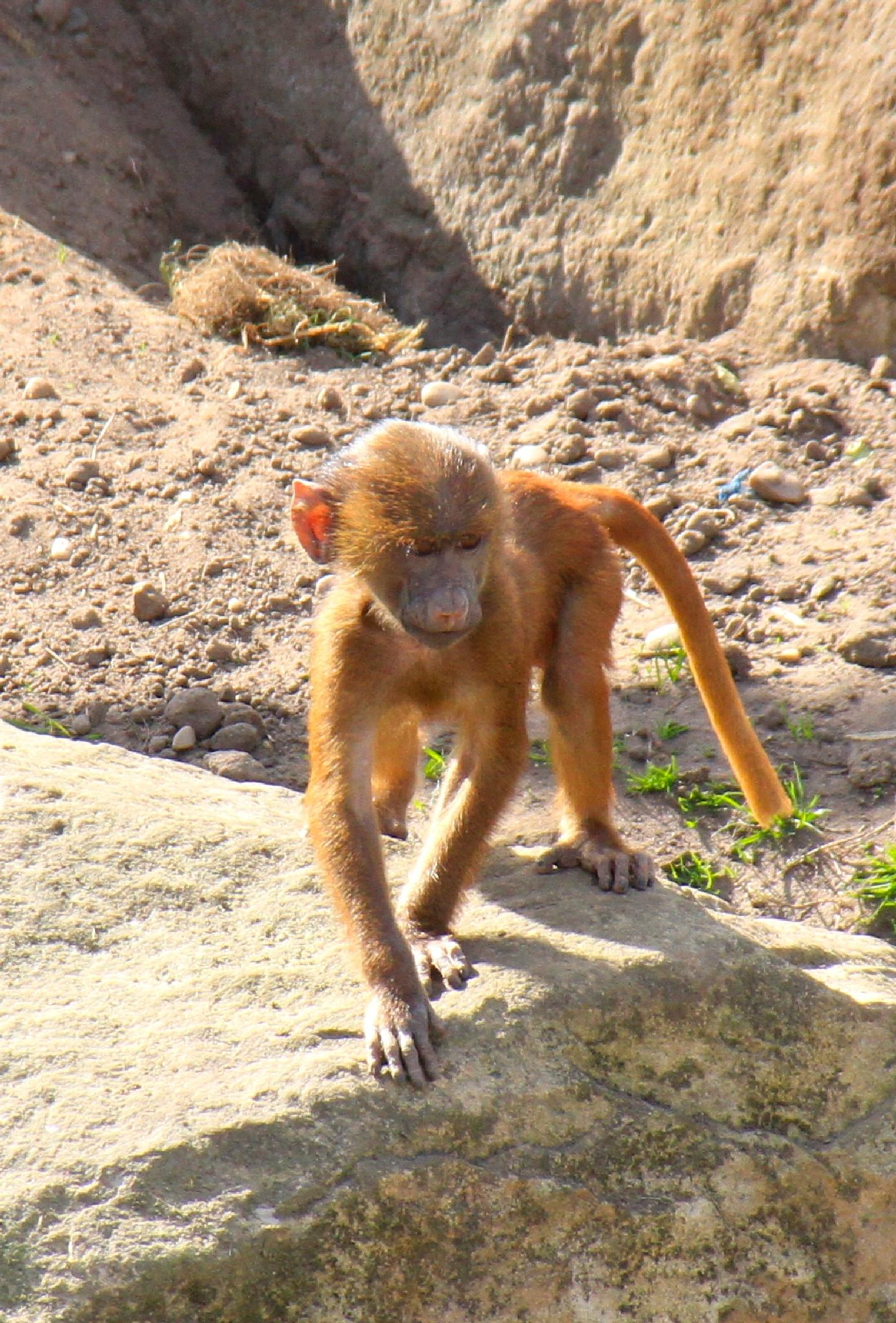 Baby Baboon by Martin Roper