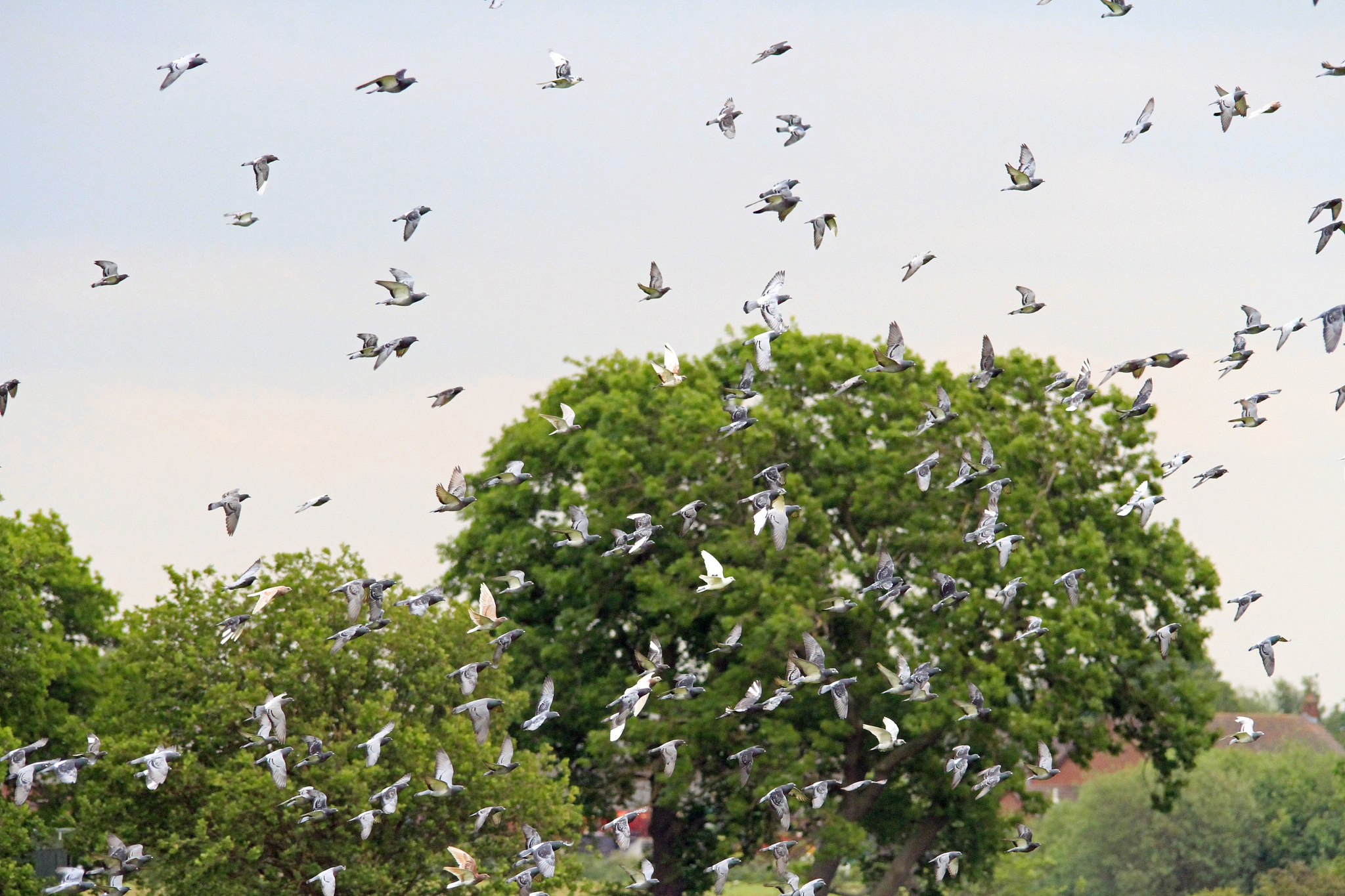 Flock of Pigeons by Martin Roper