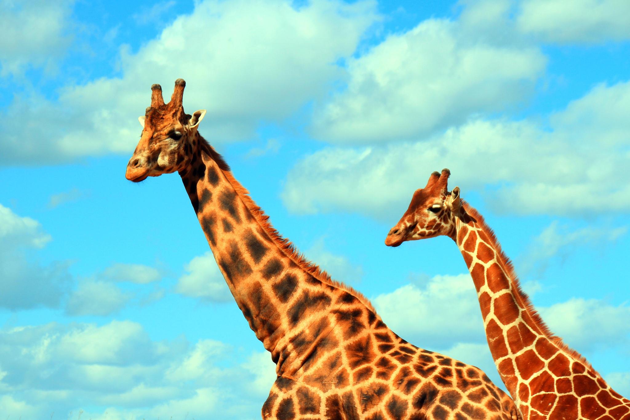 Two Giraffe's by Martin Roper
