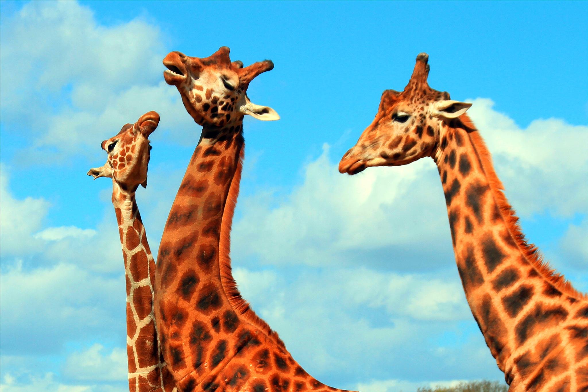 Three Giraffe's by Martin Roper
