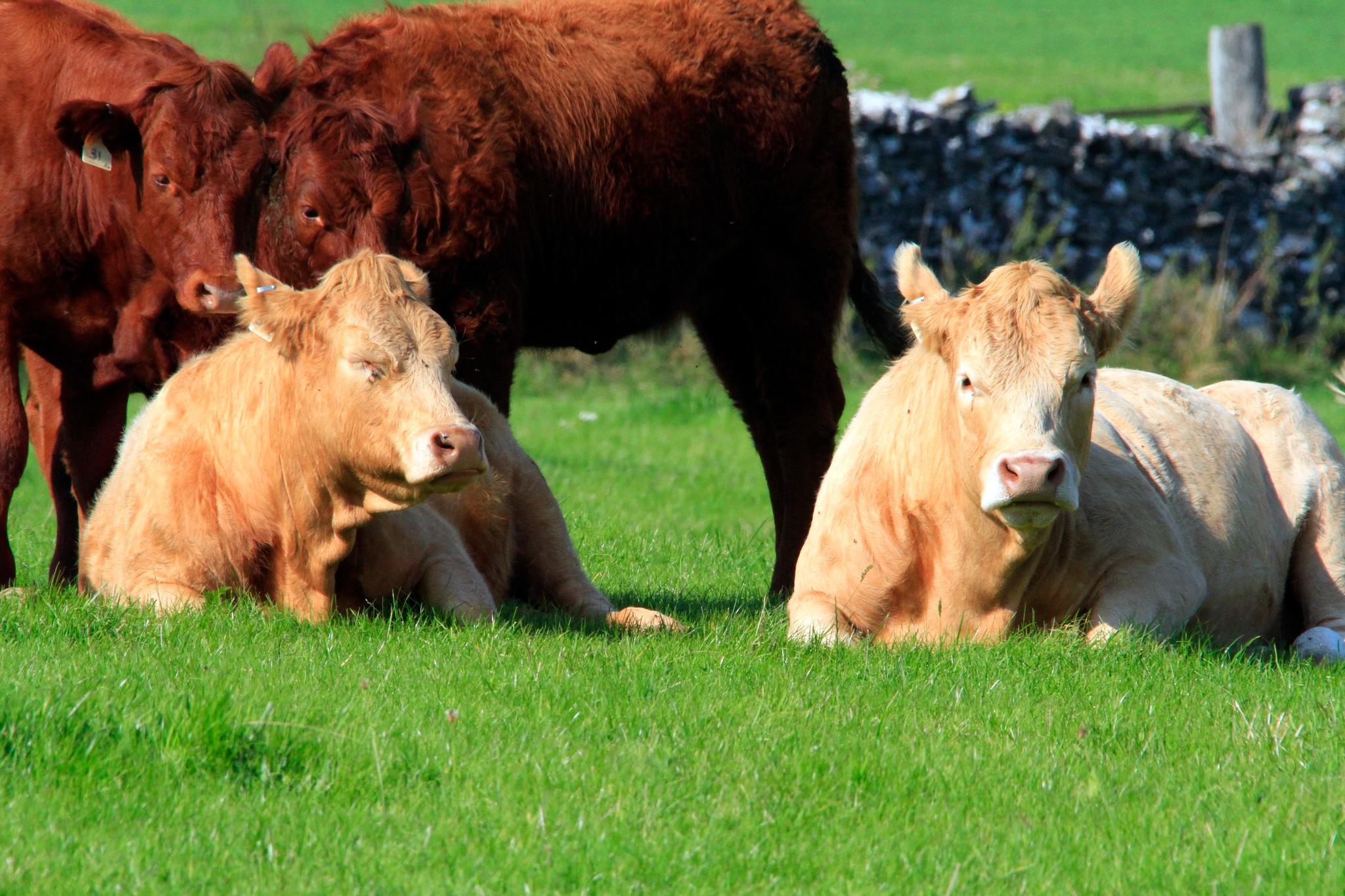 Load of Bullocks by Martin Roper