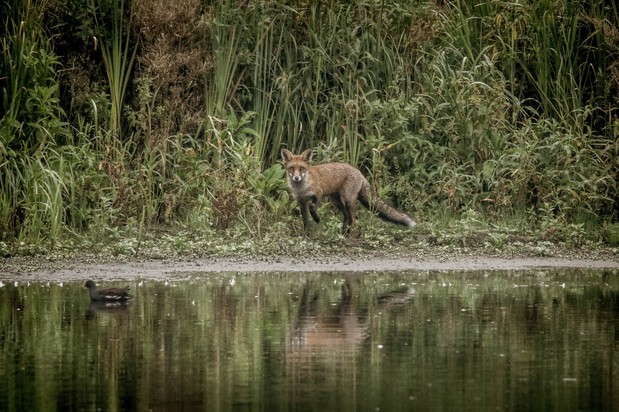 The Fox and Coot by Martin Roper