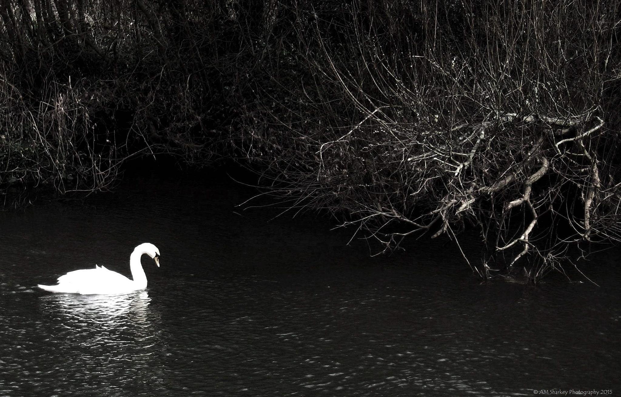 Swan & Fallen Tree by Anne-Marie