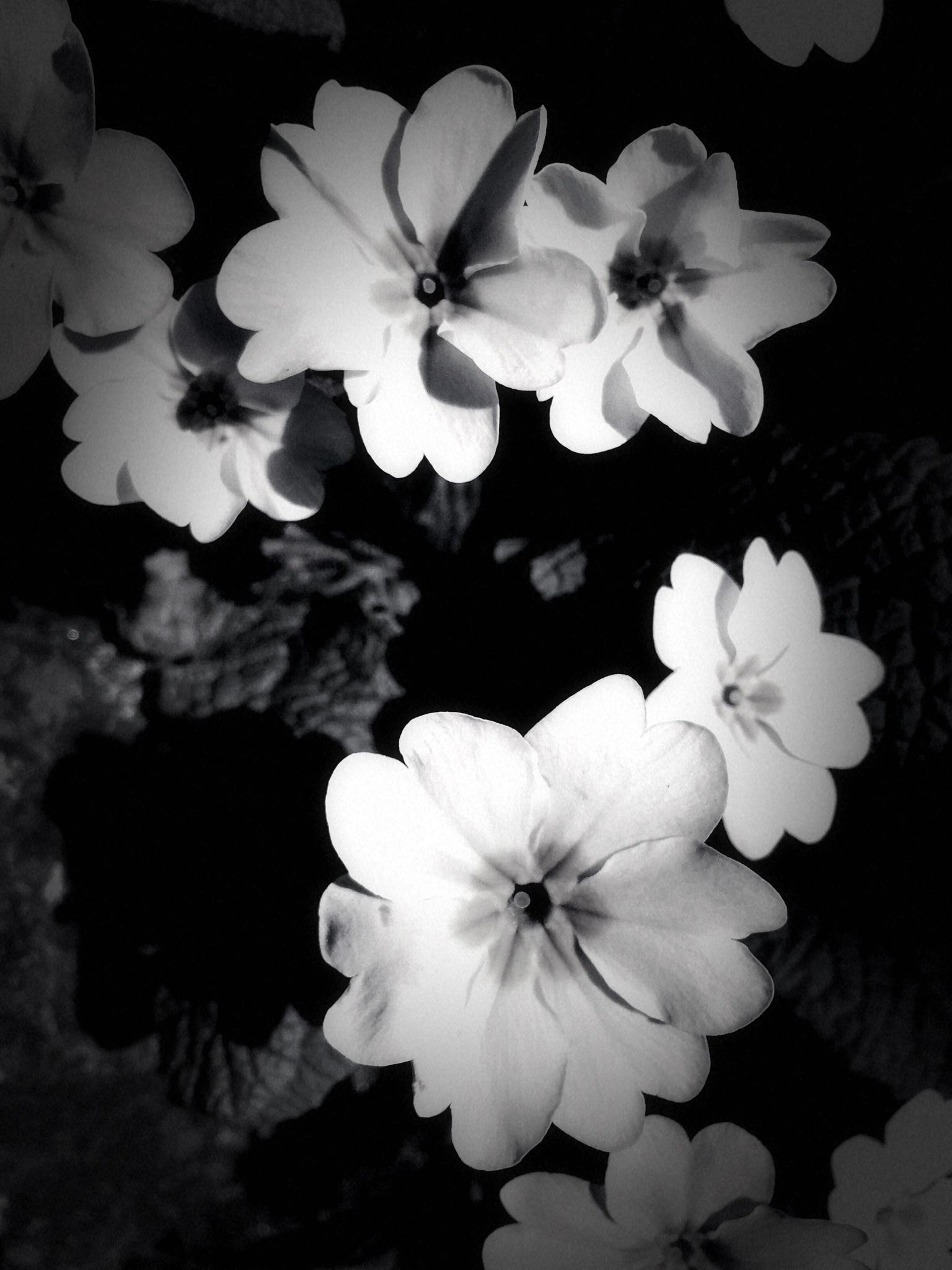 Primroses in black and white by ElaineTurpin