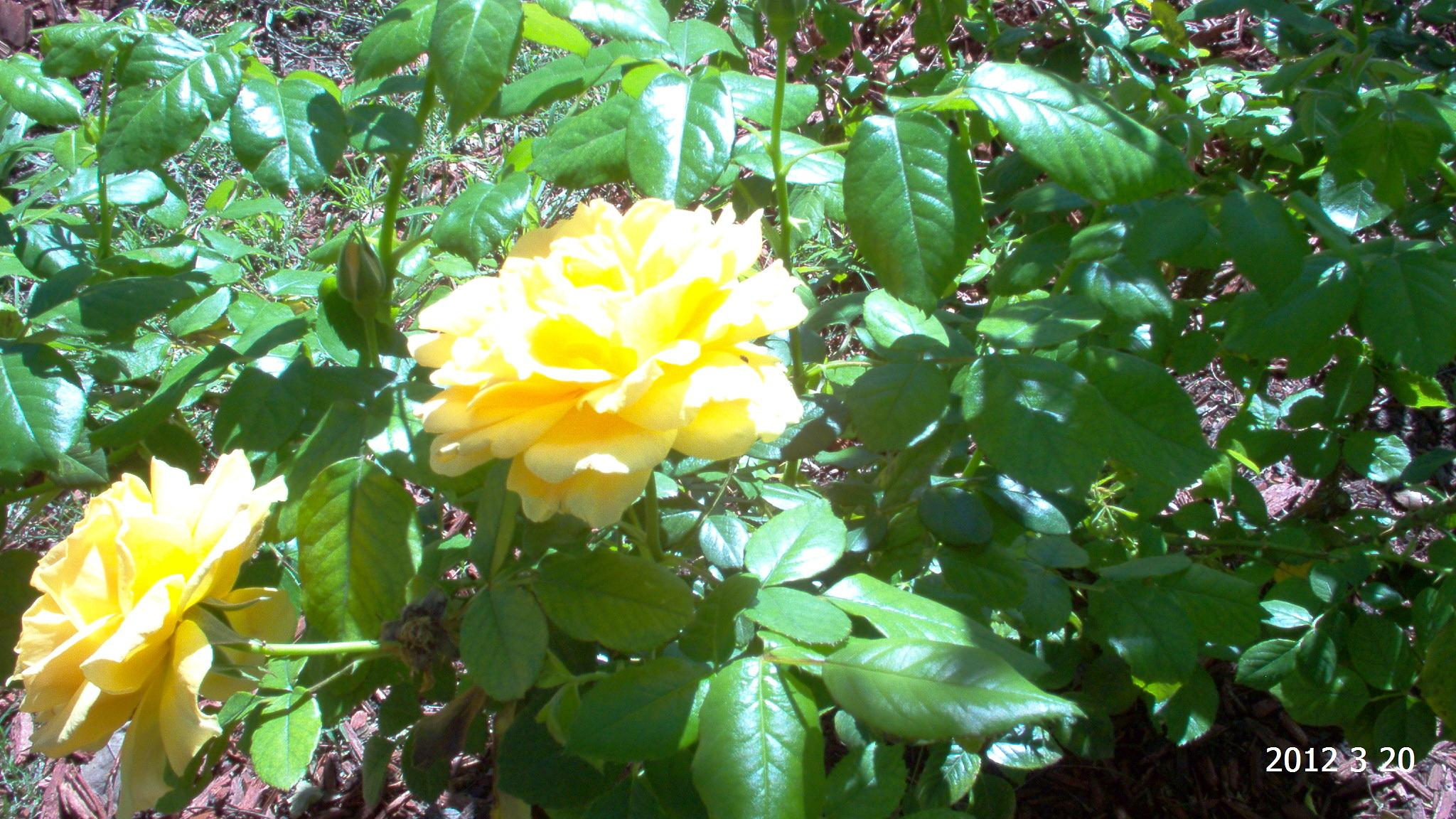 Yellow Rose by dianne.spurlin