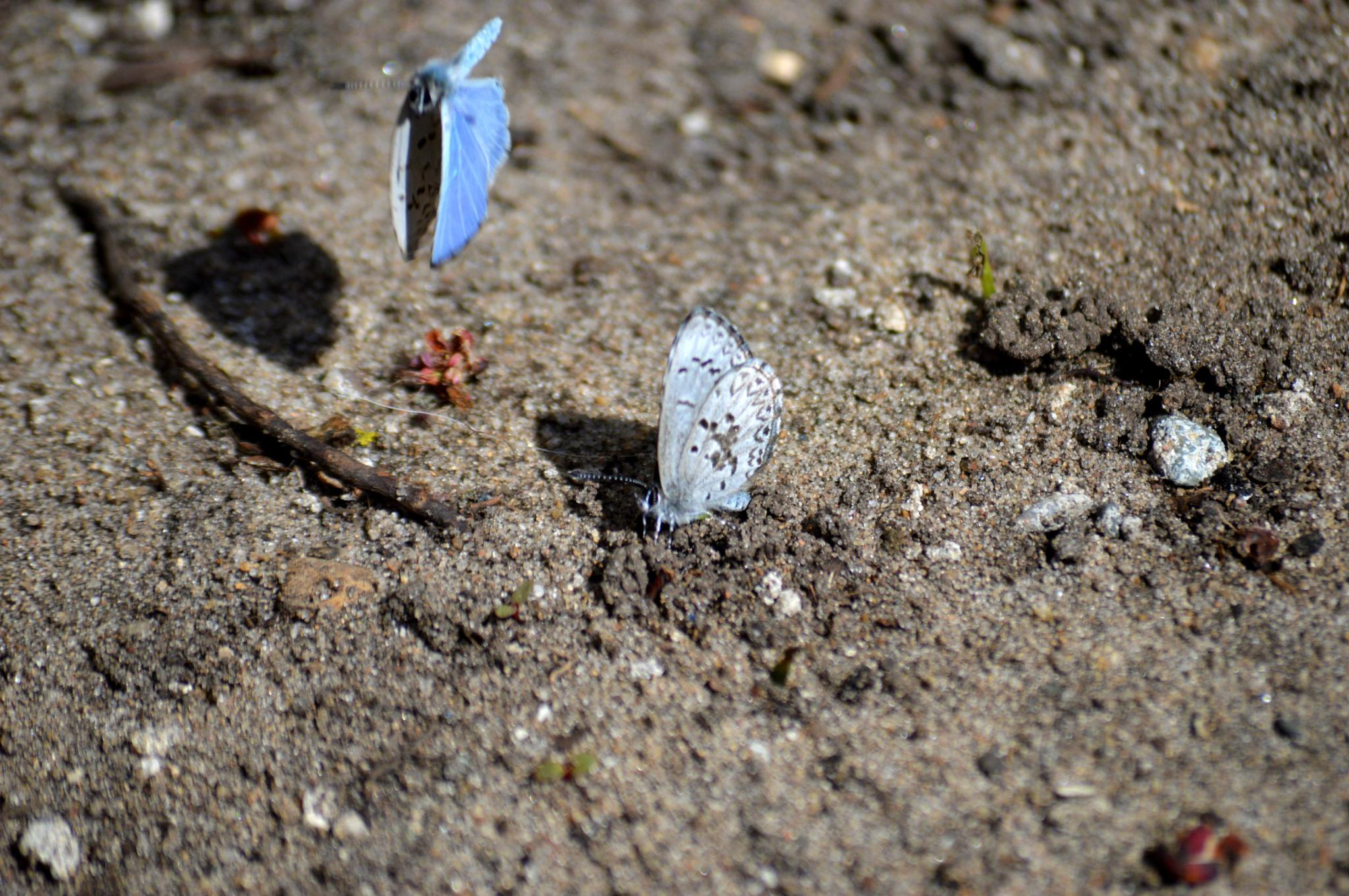 Blue Butterflies by tammy.hayes3